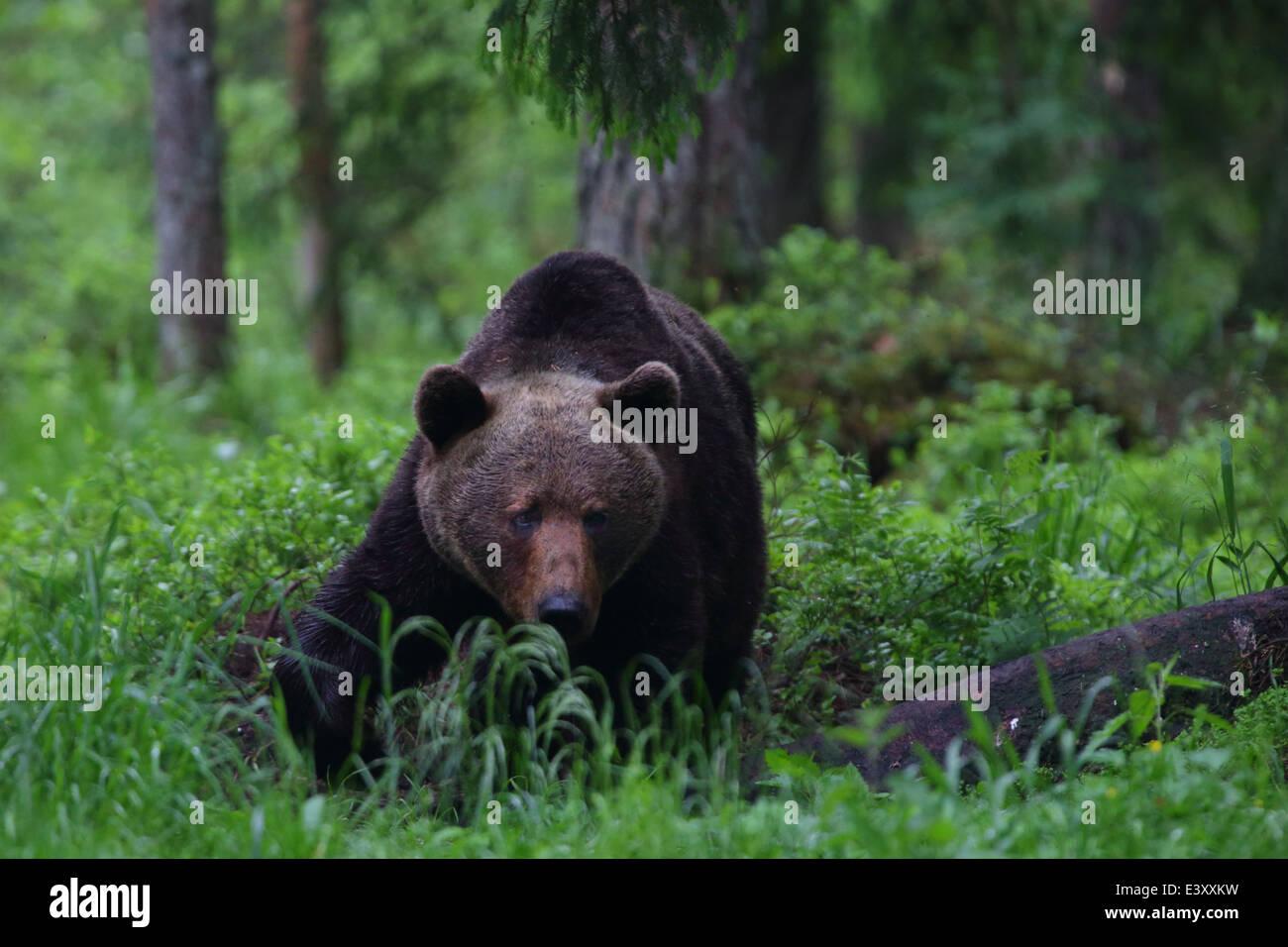 Brown bear (Ursus arctos) in Primeval forest. Europe, Estonia Stock Photo