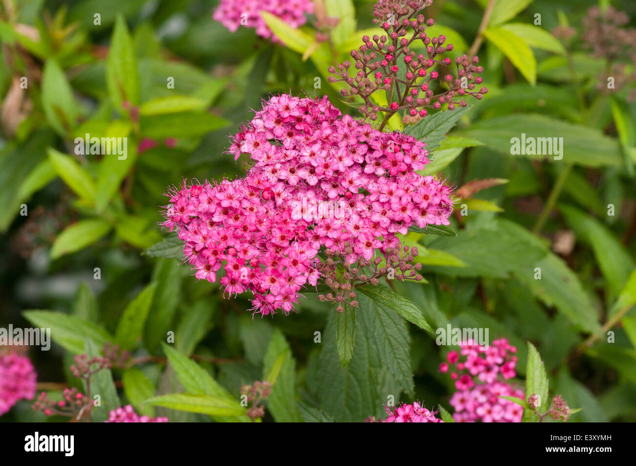 Pink Spirea Stock Photos Pink Spirea Stock Images Alamy
