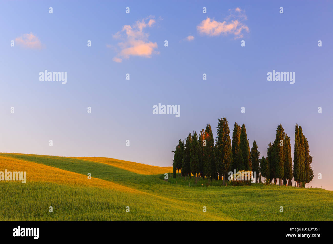 Cypress trees at Torrenieri, close to Montalcino in the heart of the Tuscany in Italy - Stock Image