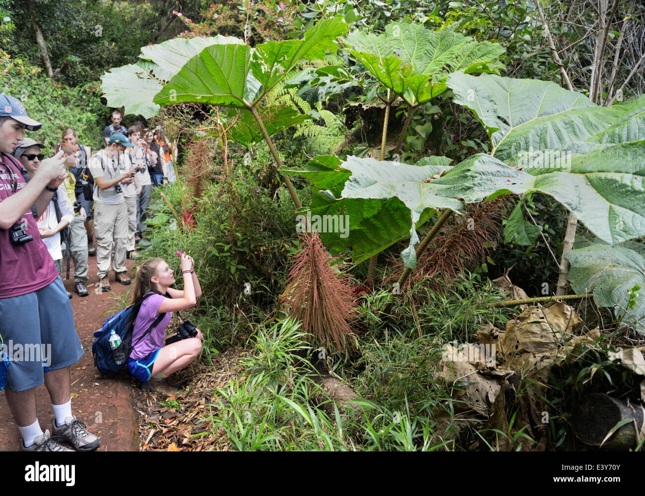 Students photographing poor man's umbrella, Gunnera insignis, in cloudforest, Poas National Park - Stock Image