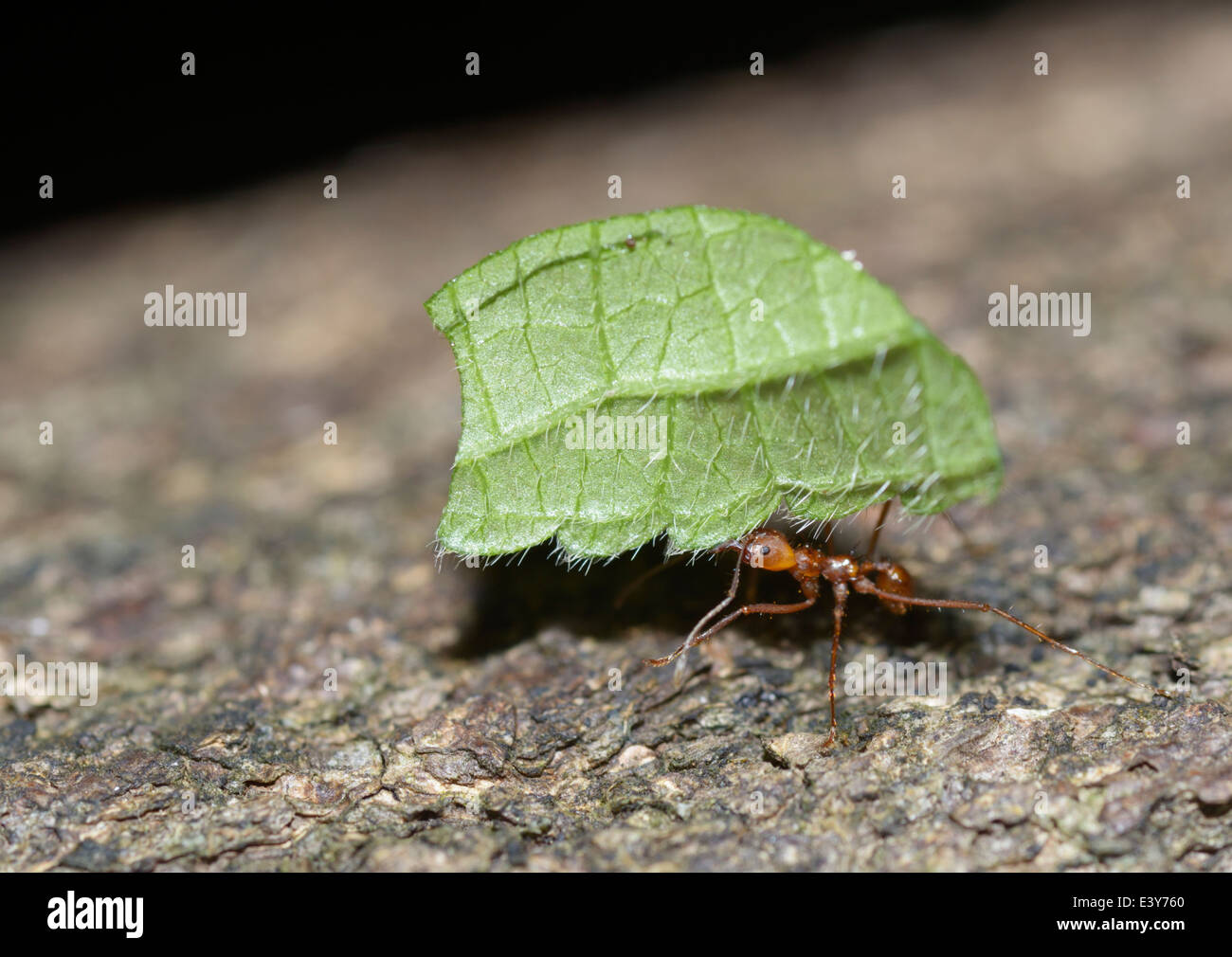 Leaf cutter ant, Atta sp. - Stock Image