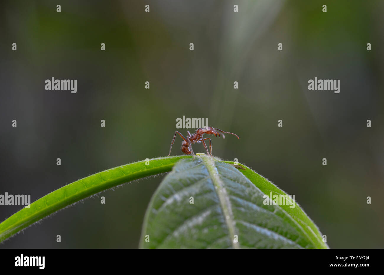 Symbiosis between ant, Azteca sp., and Inga plant that provides nectar in bowls visible at base of leaves - see - Stock Image