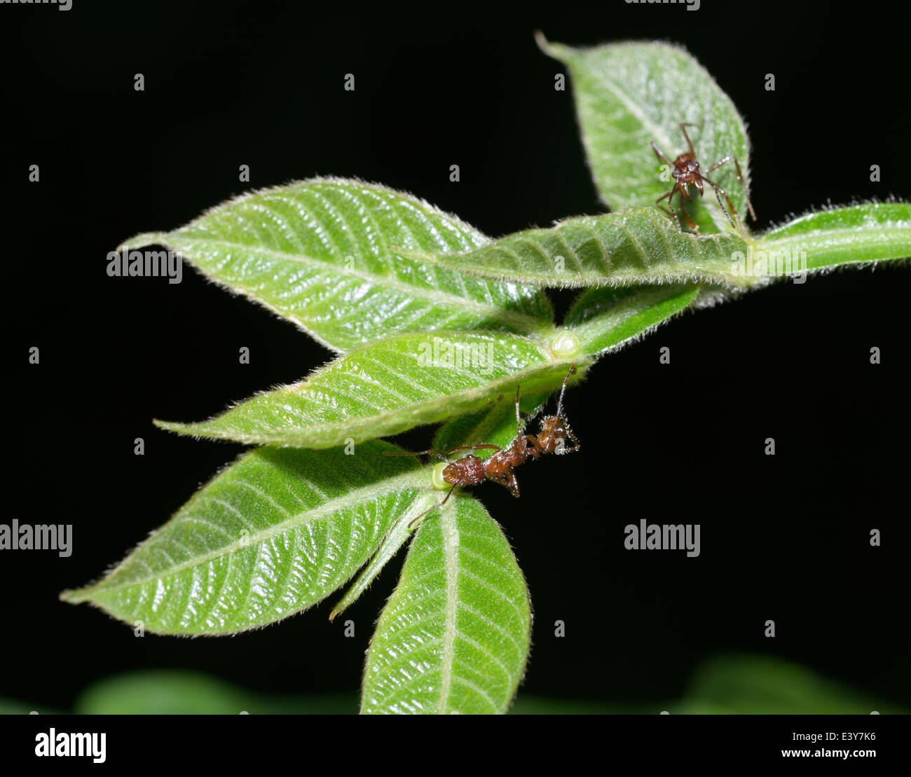 Symbiosis between ants, Azteca sp., and Inga plant that provides nectar in bowls visible at base of leaves - see - Stock Image