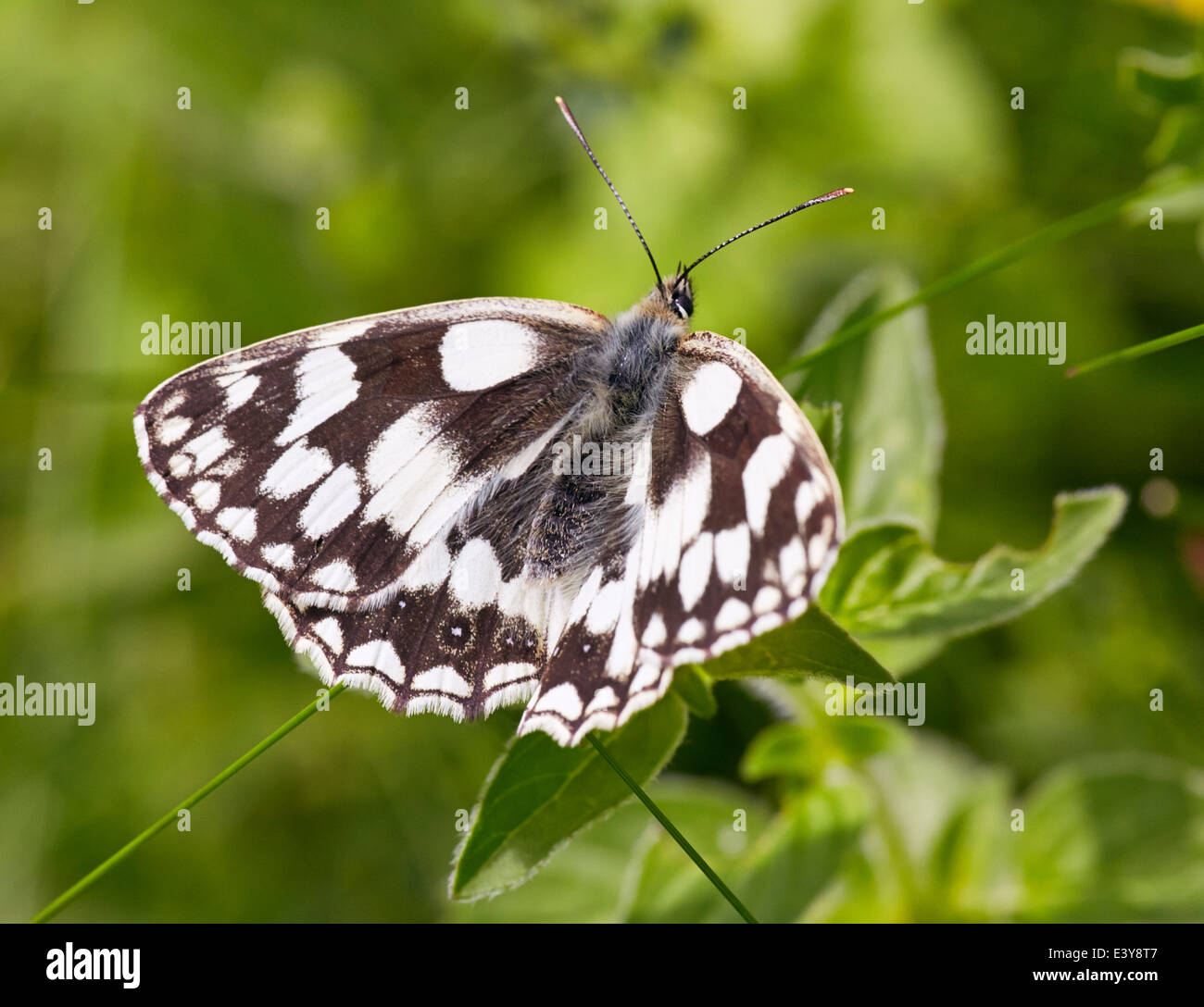 Marbled White butterfly. Box Hill, Dorking, Surrey, England. - Stock Image