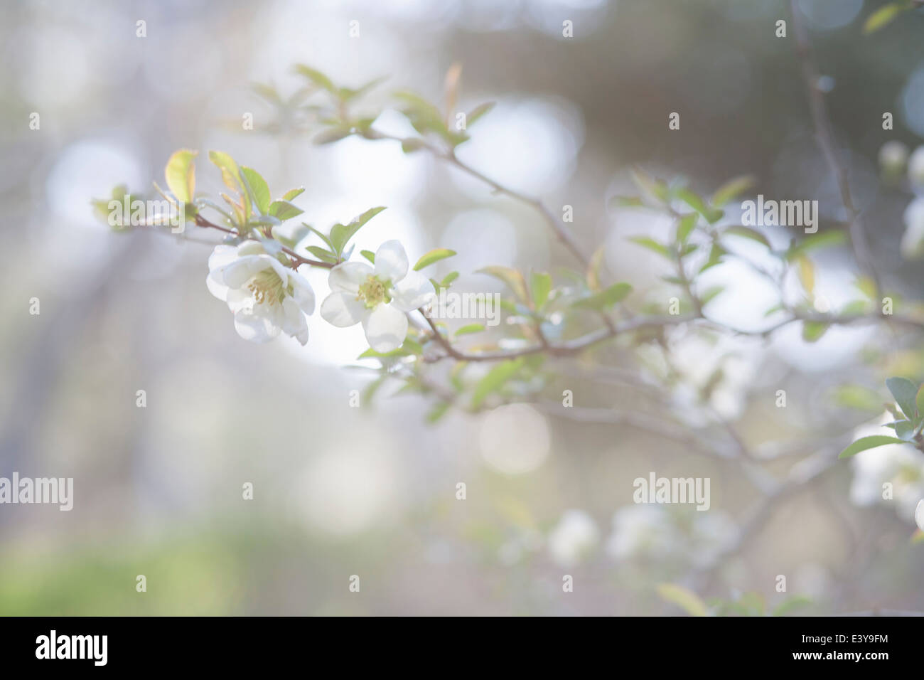 Cropped image of soft focus tree branch and blossom - Stock Image