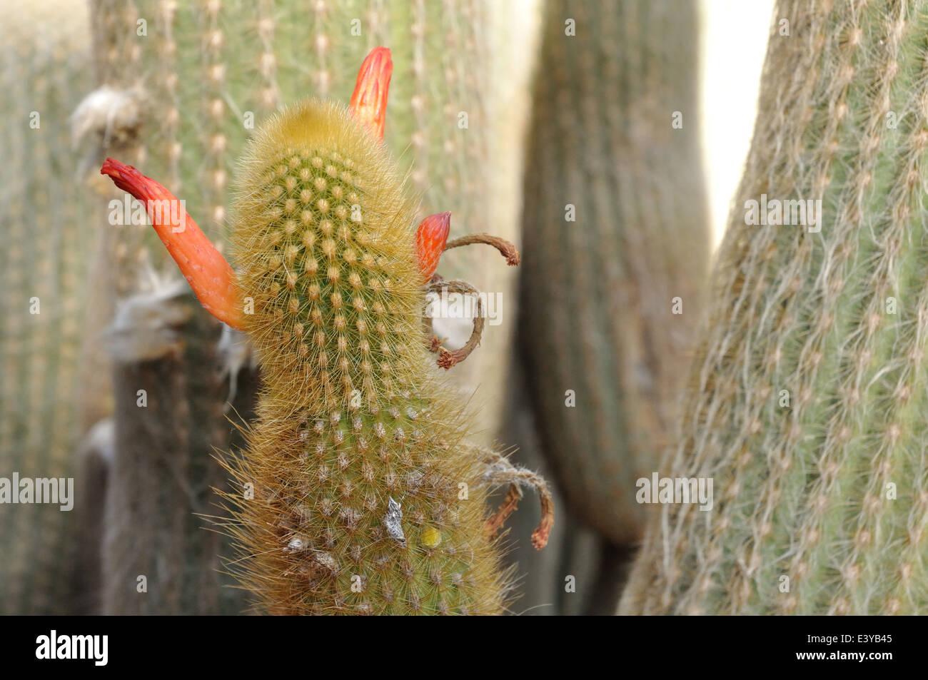 Cactus Devil - Stock Image