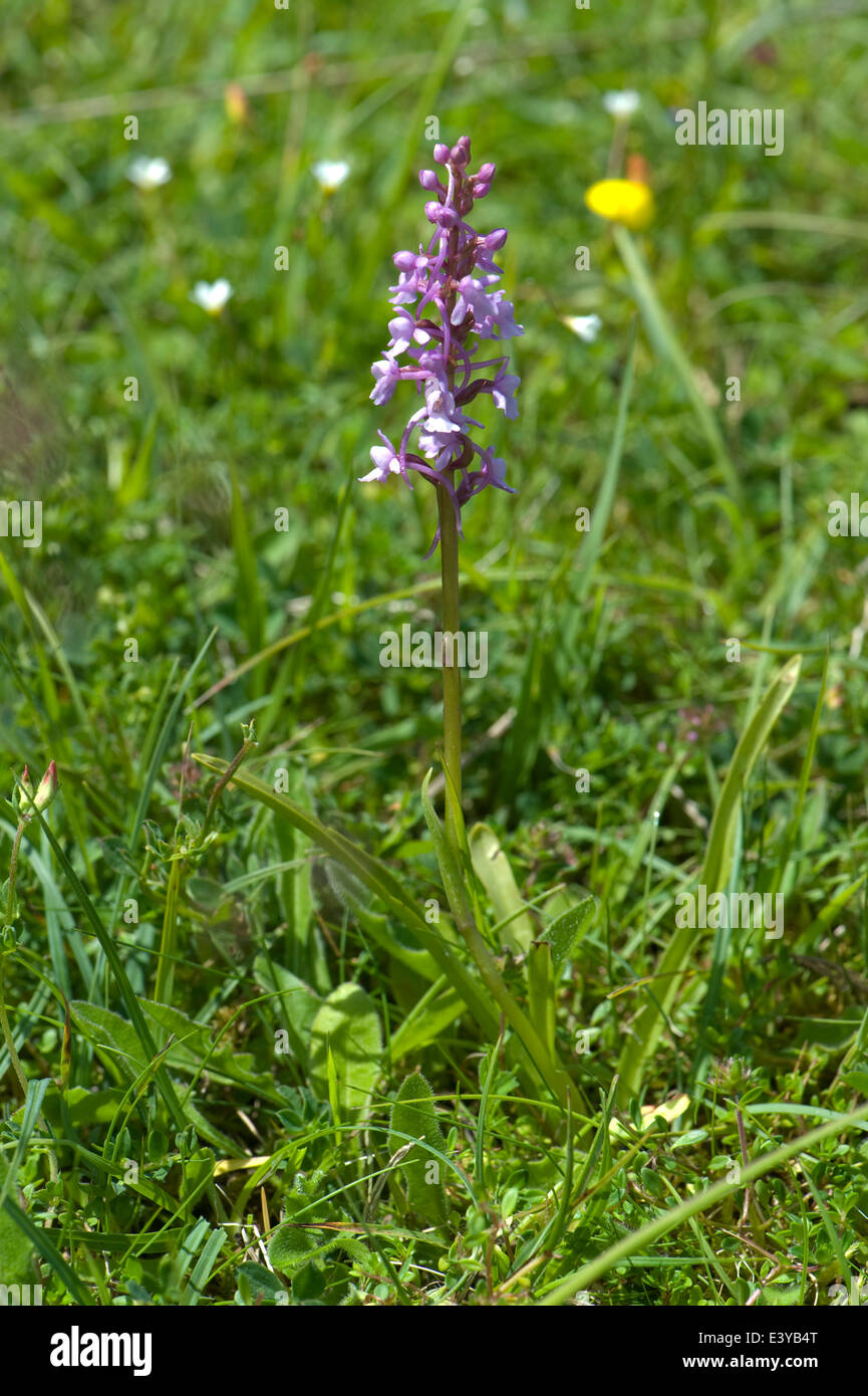 A fragrant orchid, Gymnadenia conopsea, flowering plant in short chalk grassland in summer - Stock Image