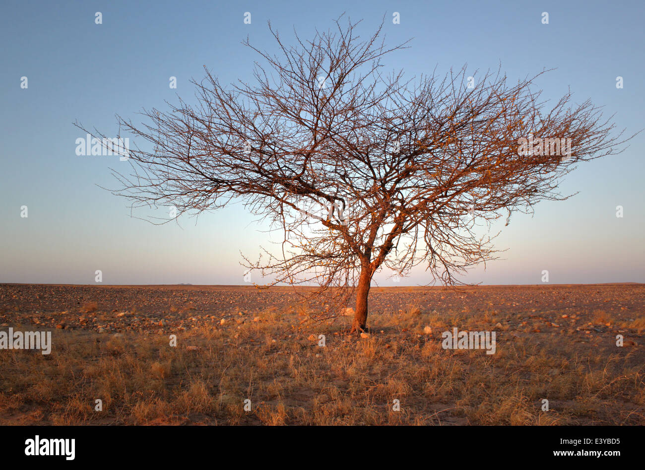 Lone tree in the Sahara desert, Mauritania, with a distant hill in the horizon - Stock Image