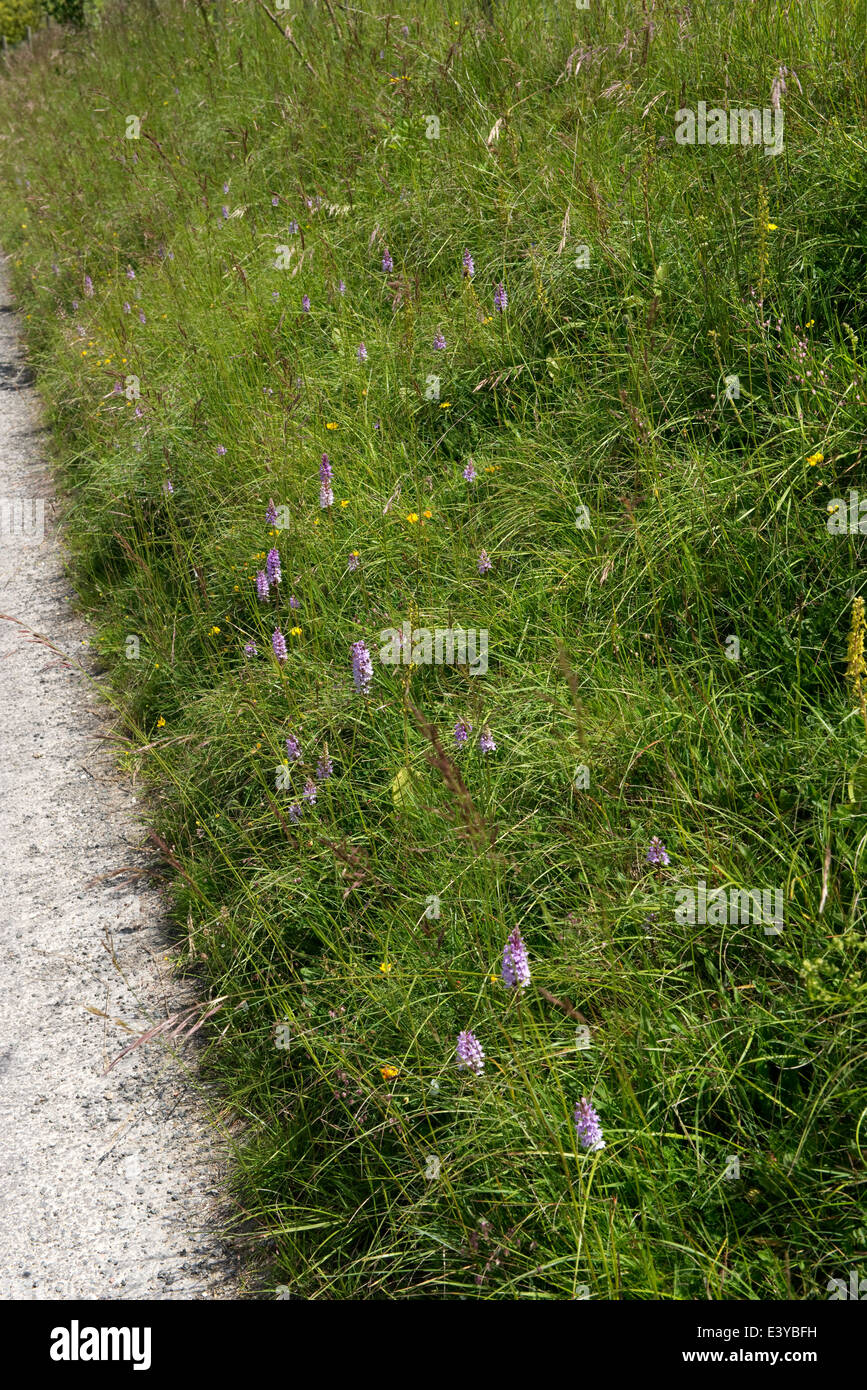 Common spotted orchids, Dactylorhiza fuchsii, flowering on a road verge - Stock Image