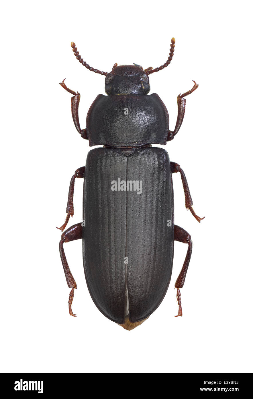 Fine Darkling Beetle Anatomy Image - Human Anatomy Images ...