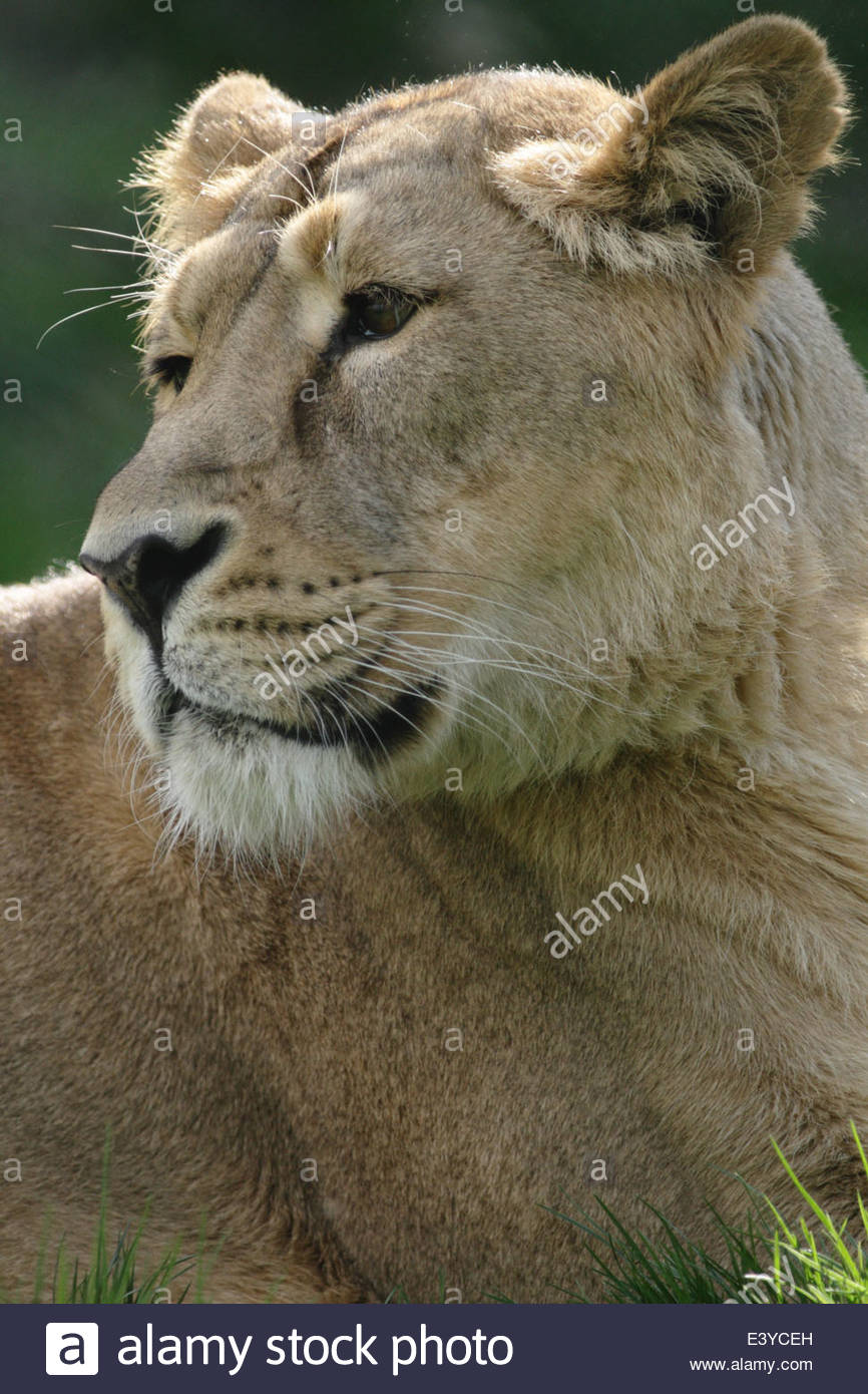 Asiatic Lion at a UK zoo. - Stock Image