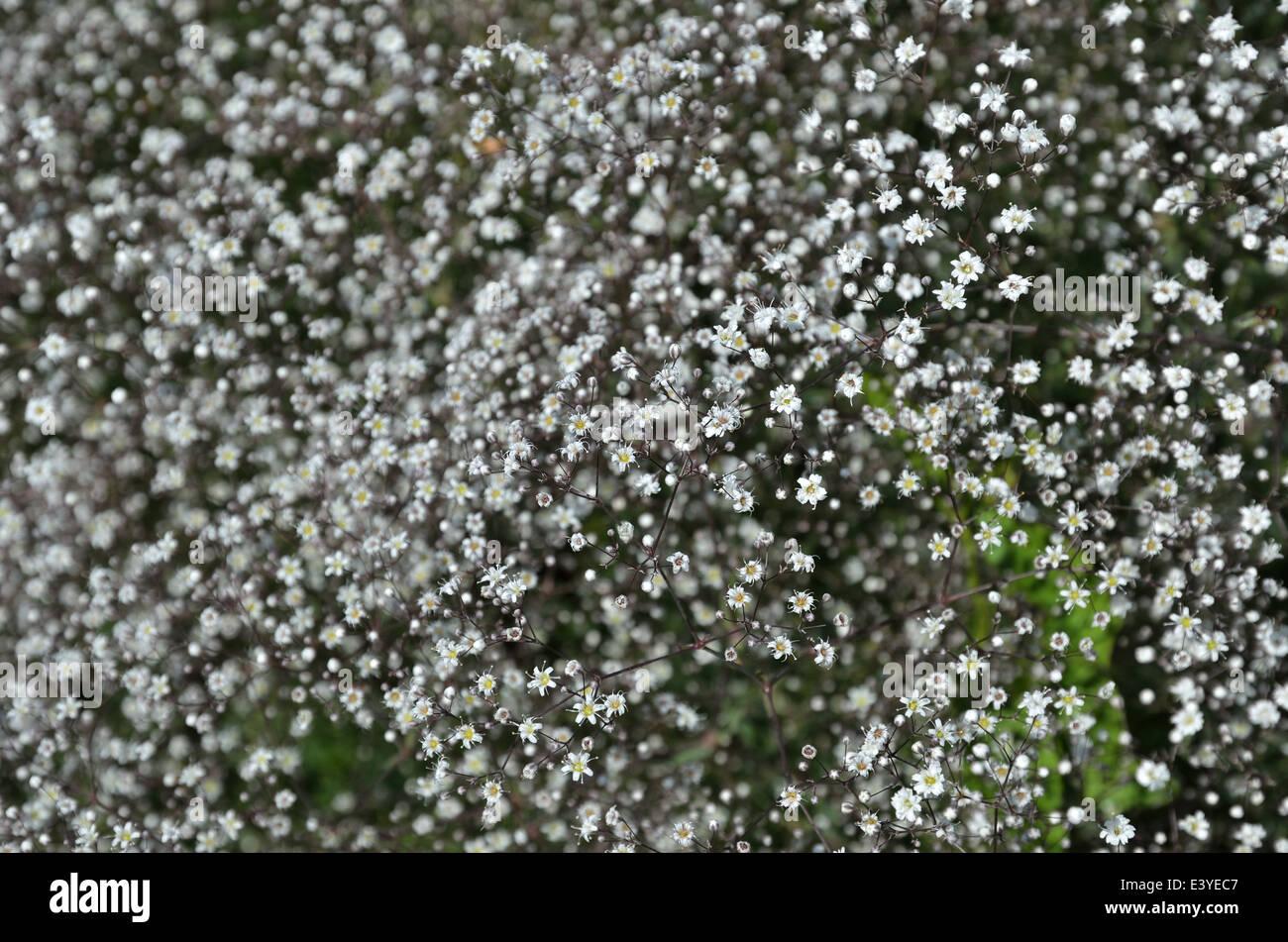 Many Tiny White Flowers Stock Photos Many Tiny White Flowers Stock