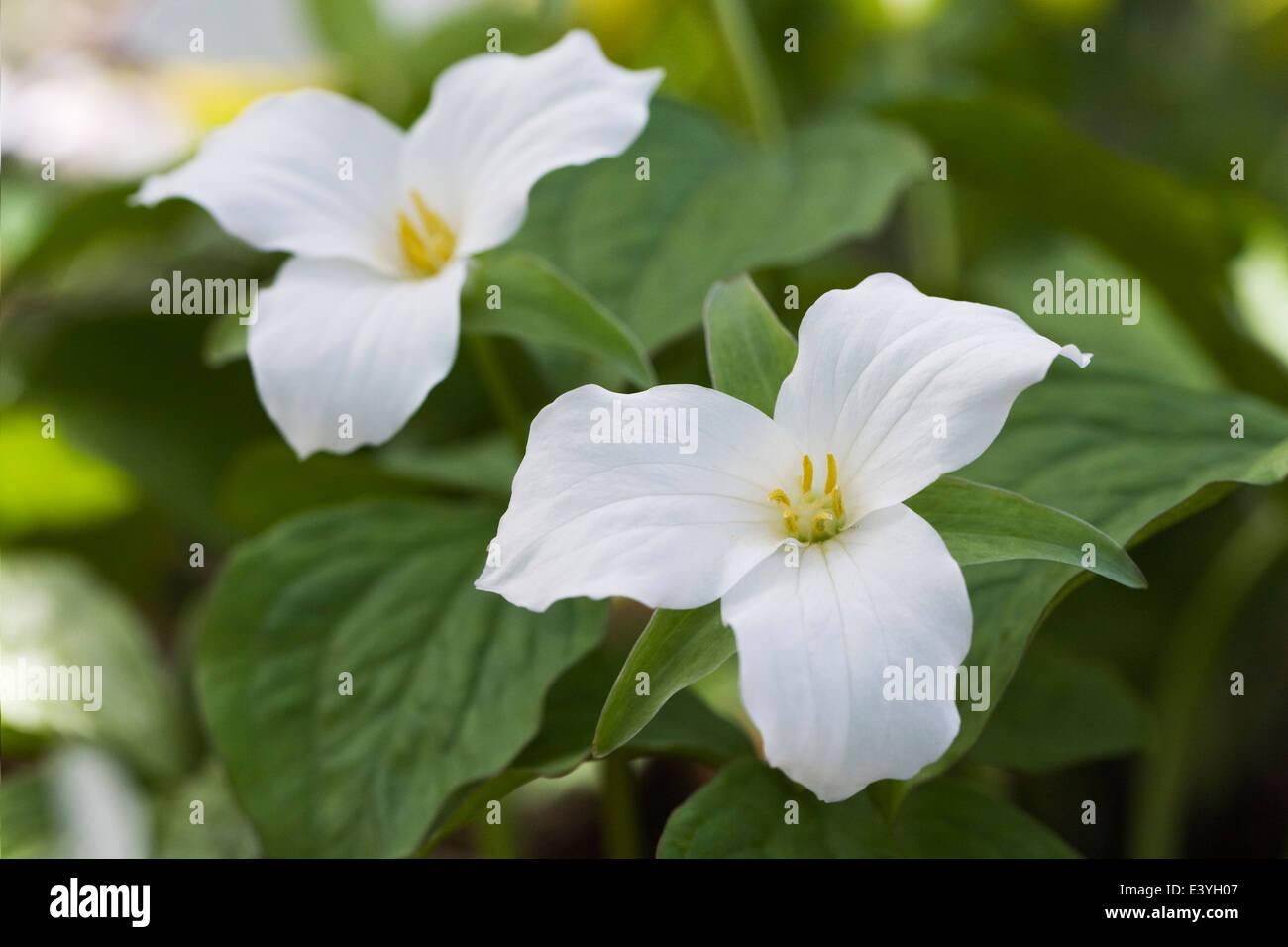 Trillium Grandiflorum Close Up Of Trillium Flowers White Wake