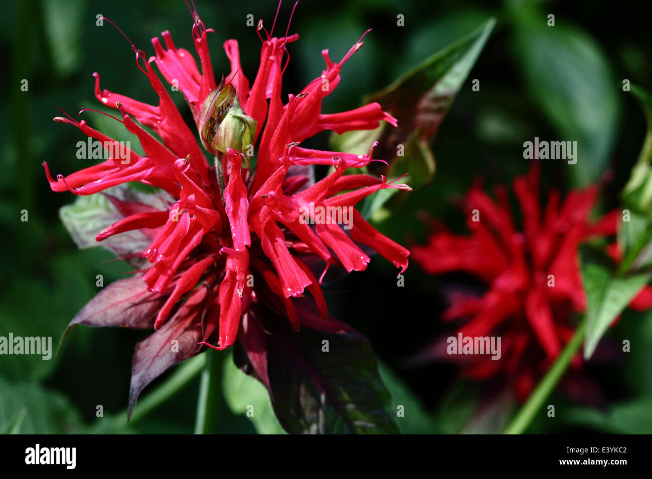 Monarda is a genus consisting of roughly 16 species of flowering plants in the mint family, Lamiaceae Stock Photo