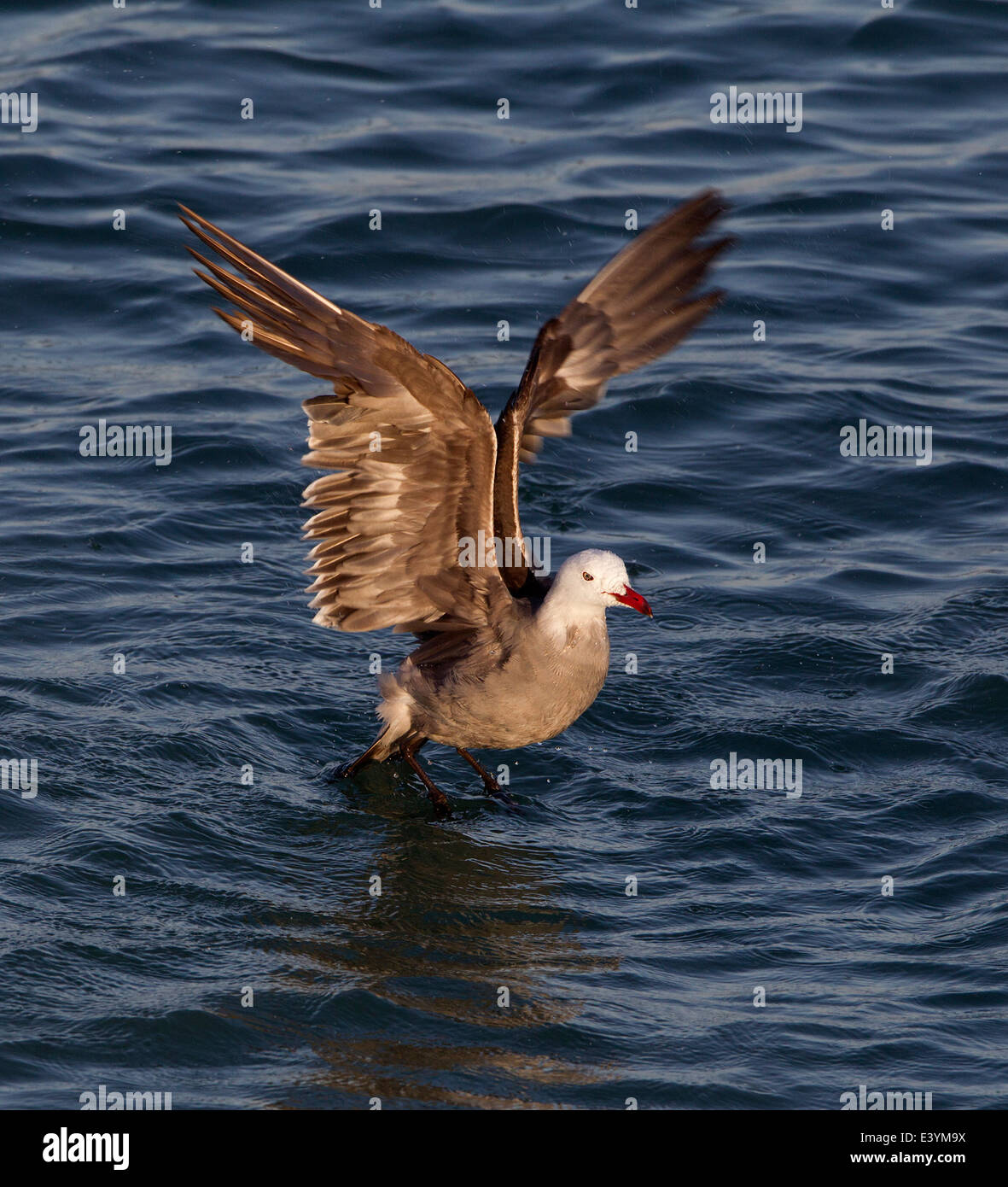 Heermann's Gull Bathing with Wings Extended - Stock Image