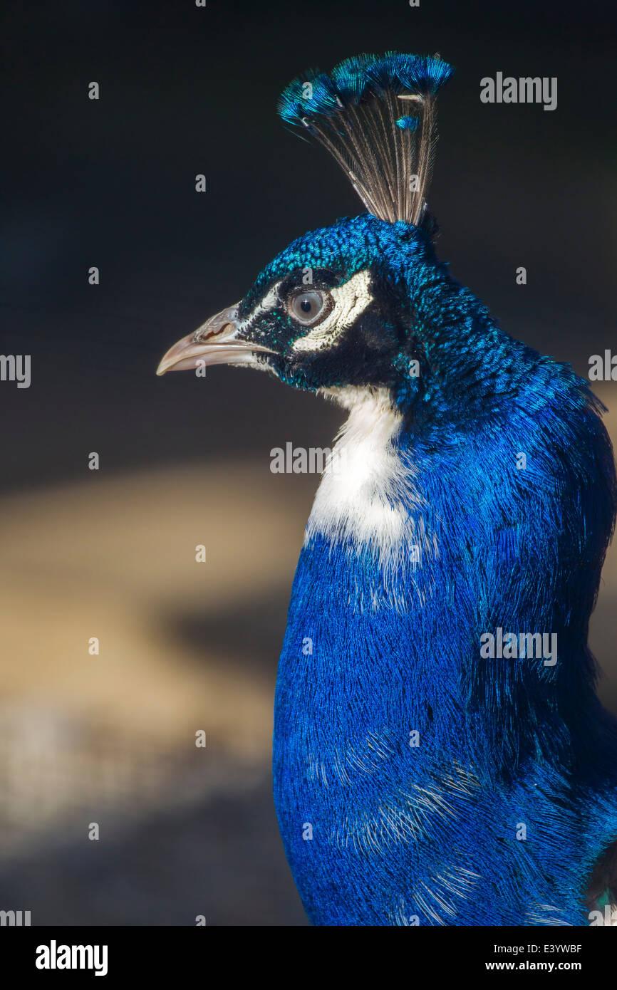 Peacock. Nymphalis io (Nymphalidae) - Stock Image