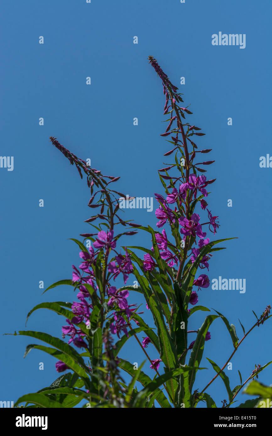 Leaves of Rosebay willowherb / Epilobium angustifolium set against blue sky. Young leaves may be eaten cooked. Stock Photo