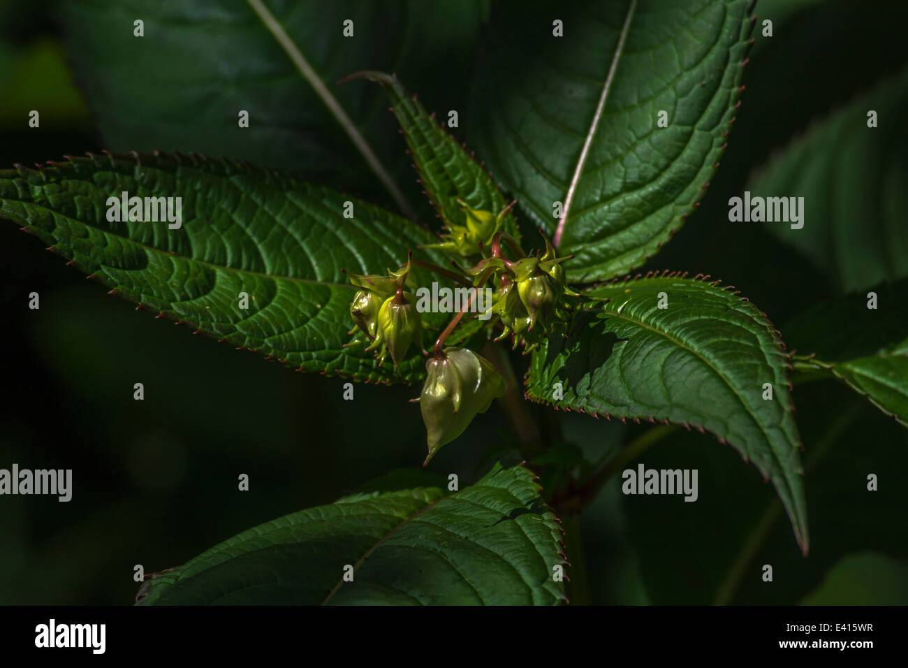 Flower buds and upper leaves of the troublesome Himalyan Balsam / Impatiens glandulifera - which likes damp soils Stock Photo