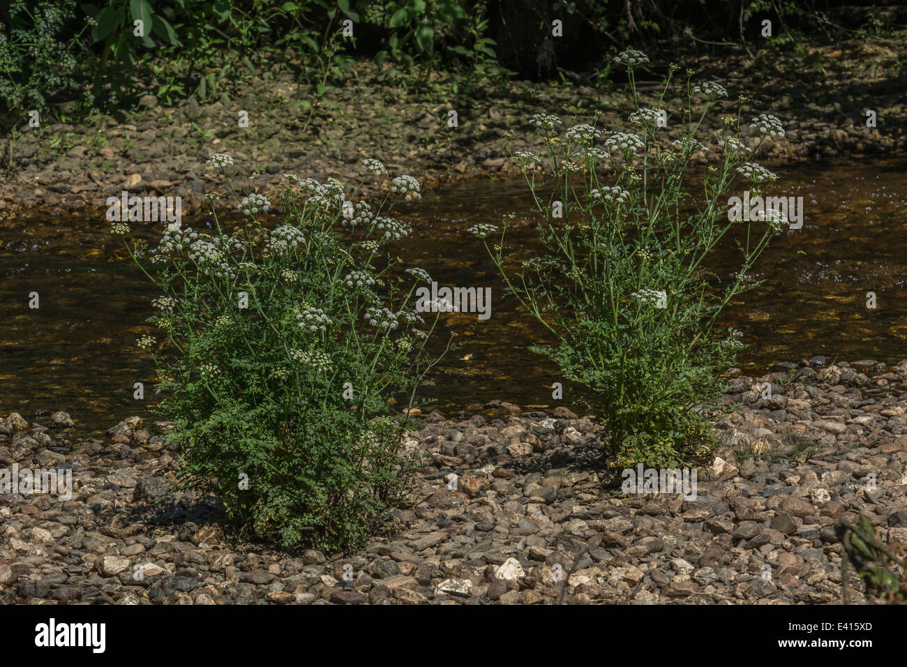 Two specimens of poisonous Water Dropwort growing in the shingle of a river bed. Hygrophilous plants concept. Stock Photo