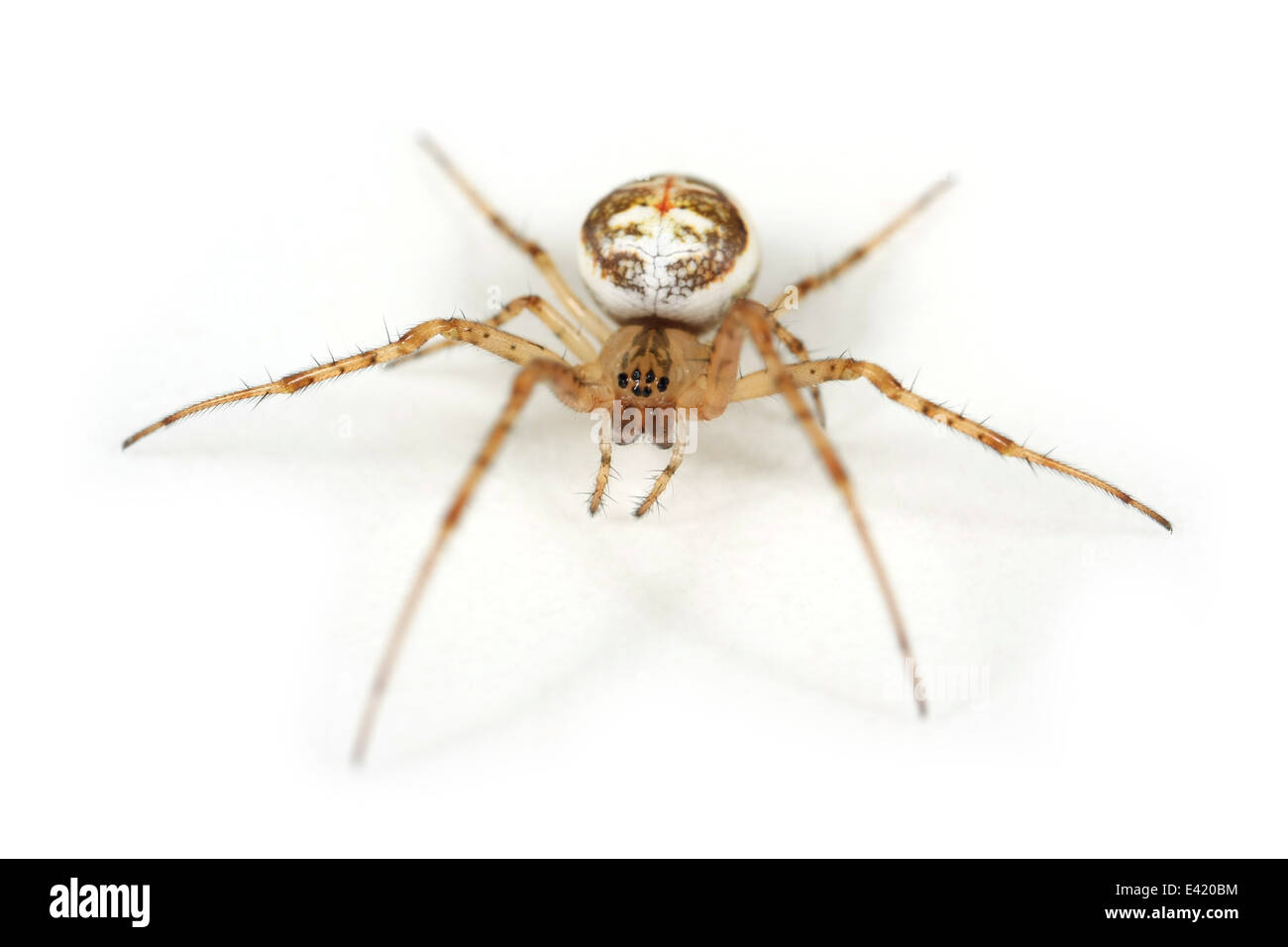 Female Metellina mengei spider, part of the family Tetragnathidae - Longjawed orbweavers or Stretch spiders. Isolated Stock Photo