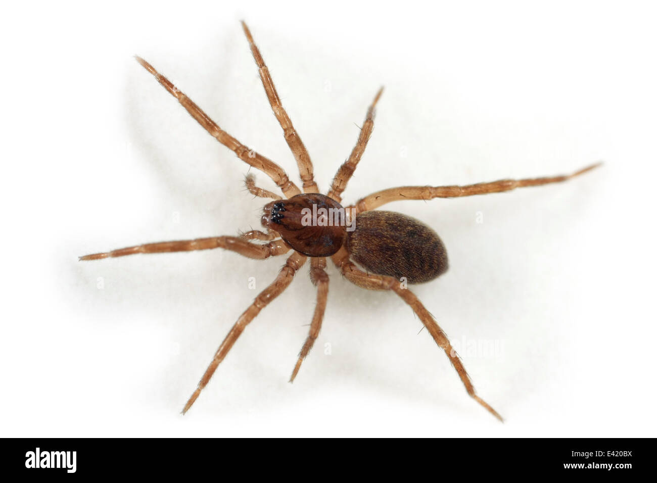 Agroeca sp spider, part of the family Liocranidae - Liocranid sac spiders. Stock Photo