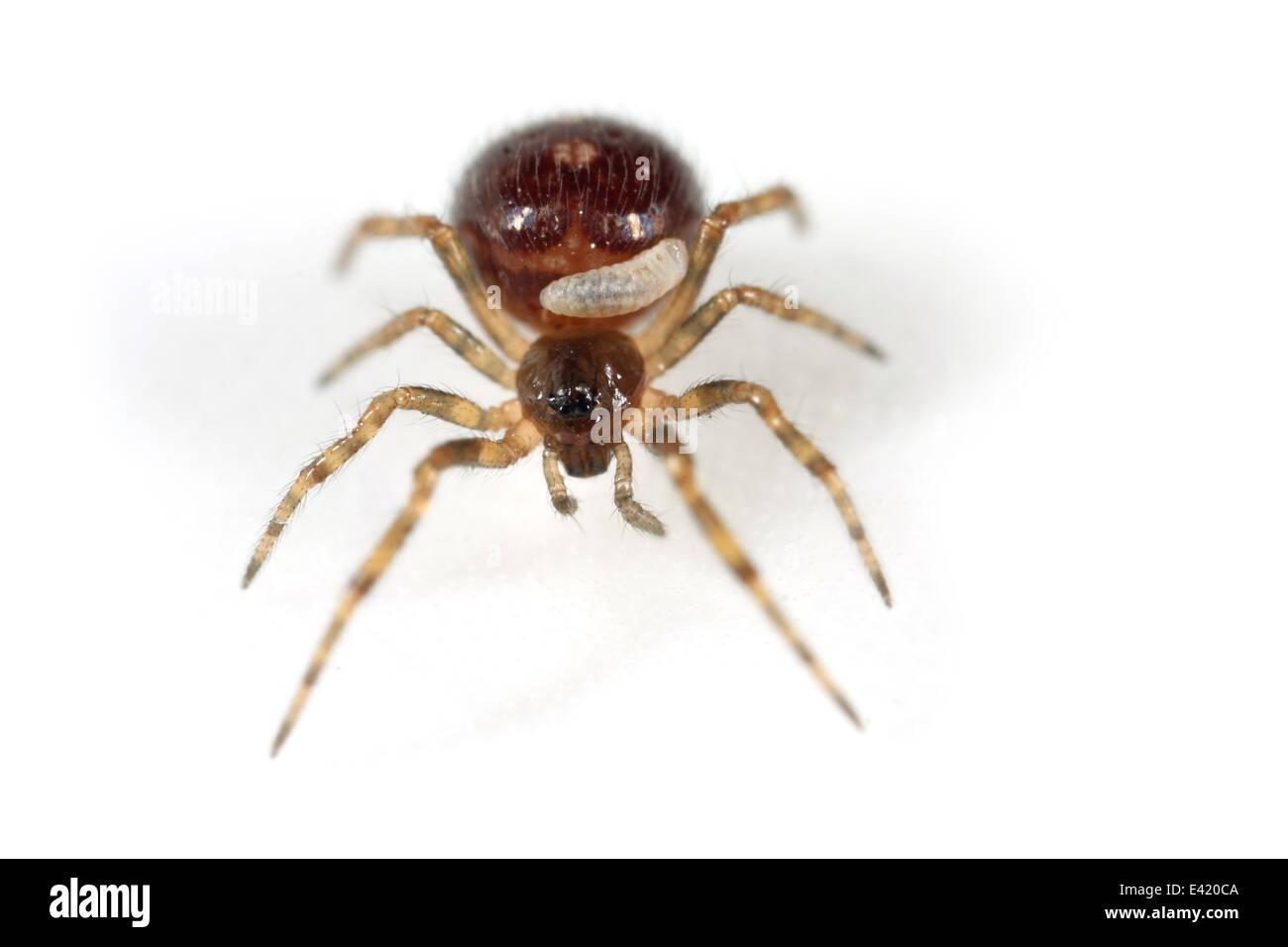 Steatoda bipunctata (Common false-widow) spider with a parasite larva. Family Theridiidae. Isolated on white background. - Stock Image