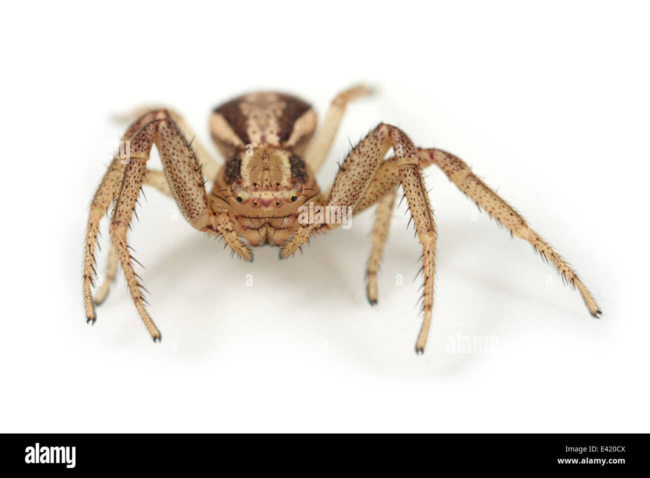 Female Xysticus ulmi spider, part of the family Thomisidae - Crab spiders. Isolated on white background. Stock Photo