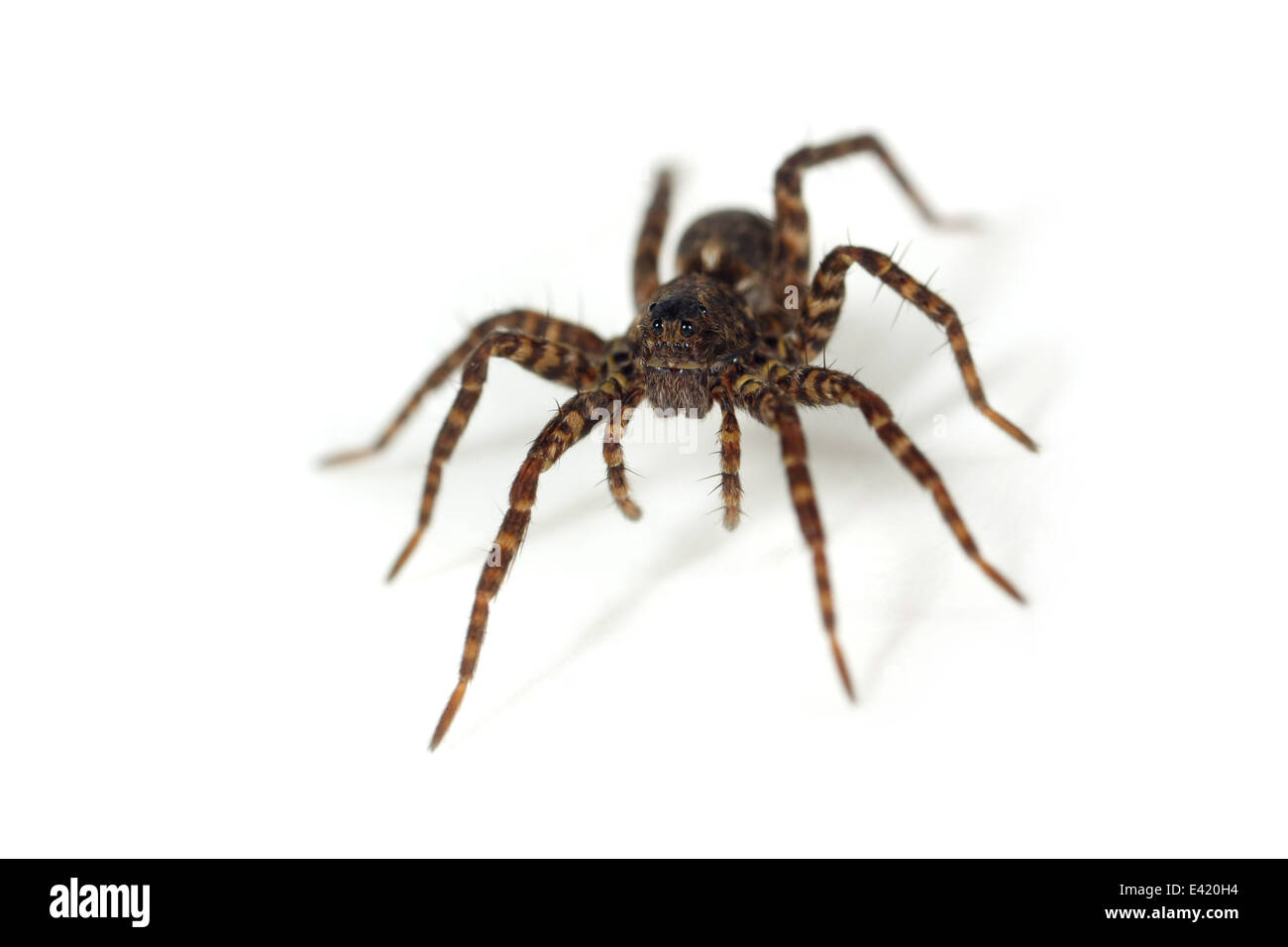 Female Pardosa amentata (Spotted wolf spider), part of the family Lycosidae - Wolf spiders. Isolated on white background. - Stock Image