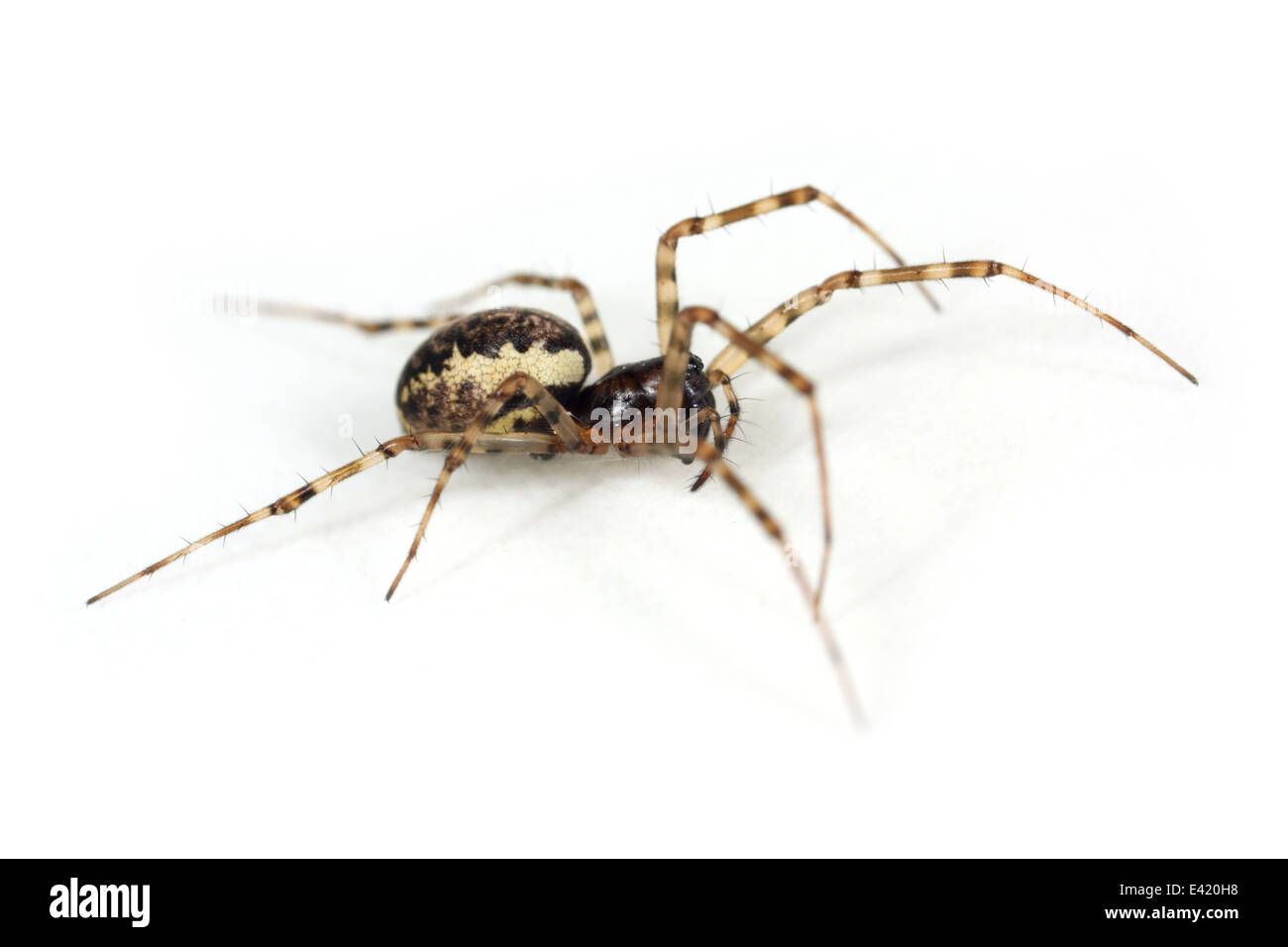 Female Spring hammock-spider (Neriene montana), part of the family Linyphiidae -  Sheetweb weavers. Isolated on Stock Photo