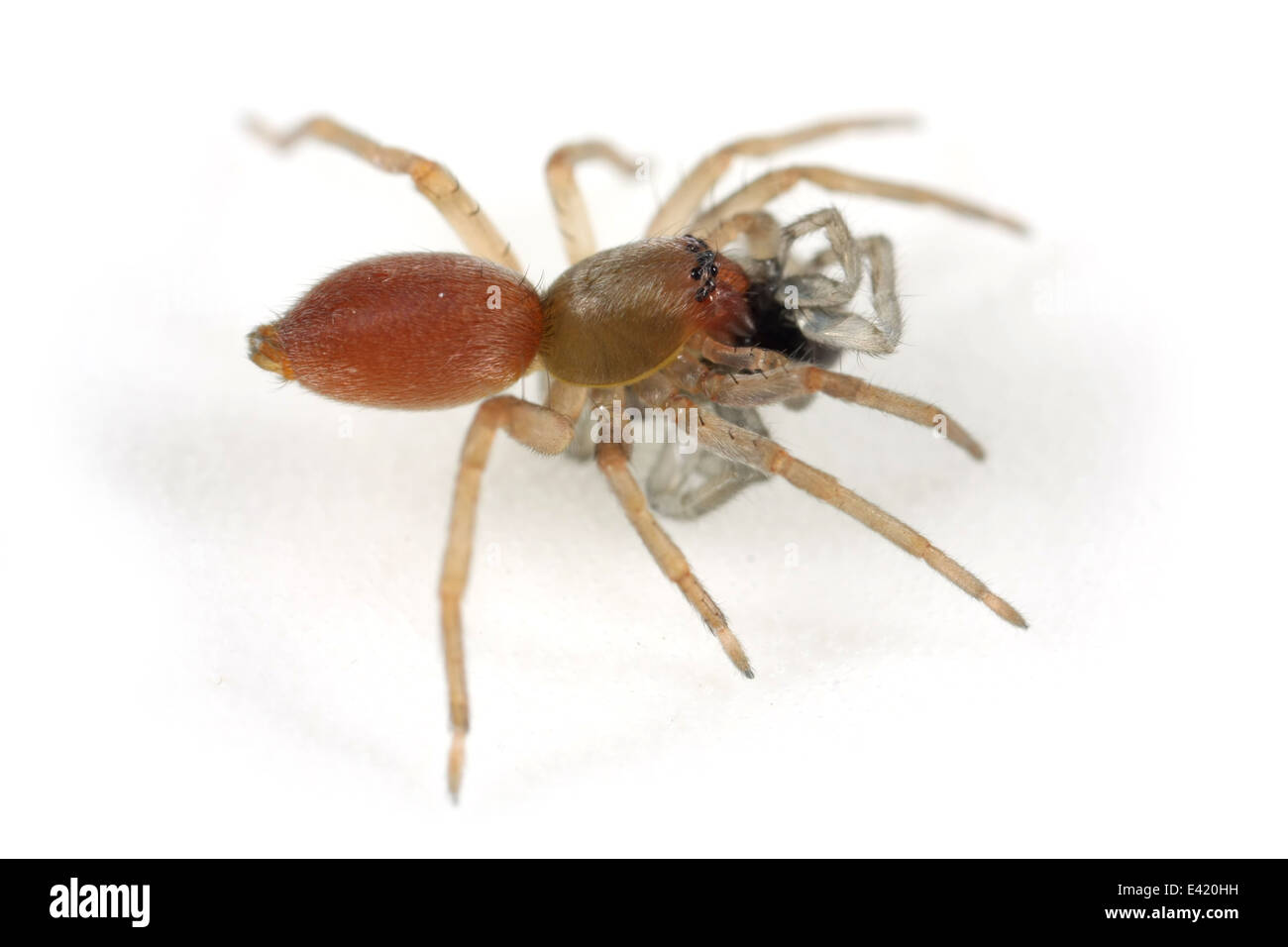 Northern sac spider (Clubiona trivialis), part of the family Clubionidae - Sac spiders. Isolated on white background. With prey. Stock Photo