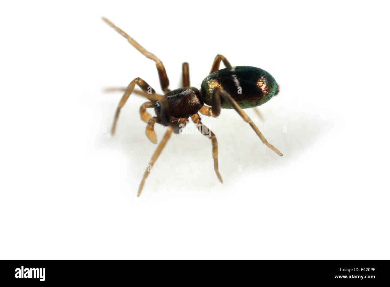 Juvenile male Pine-tree ant-spider (Micaria subopaca), part of the family Gnaphosidae - Stealthy ground spiders. Stock Photo