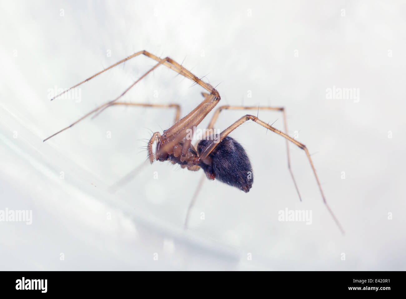 Female Misty ground-weaver (Megalepthyphantes nebulosus) spider, part of the family Linyphiidae - Sheetweb weavers. Stock Photo