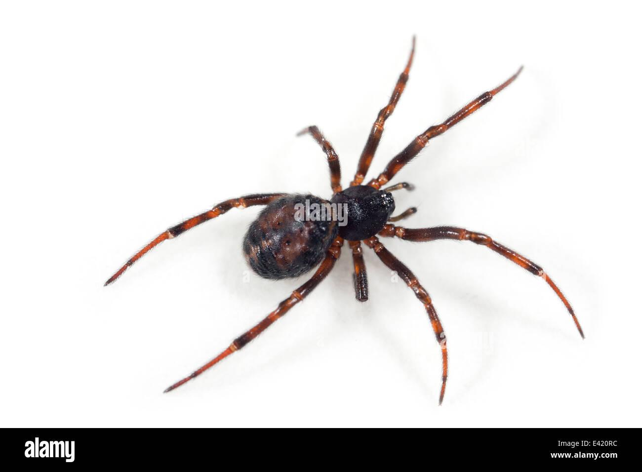 Female Steatoda bipunctata (Common false-widow) spider, part of the family Theridiidae. Isolated on white background. - Stock Image
