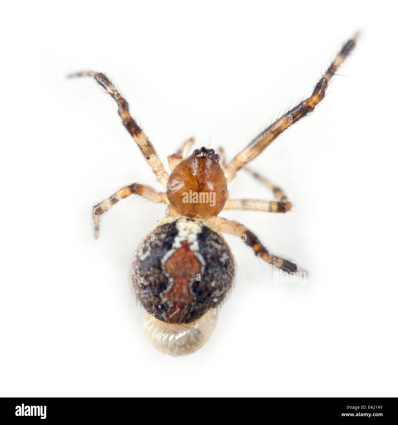 Female Theridion pinastri spider, part of the family Theridiidae (Cobweb weavers) with a parasite larva attached - Stock Image