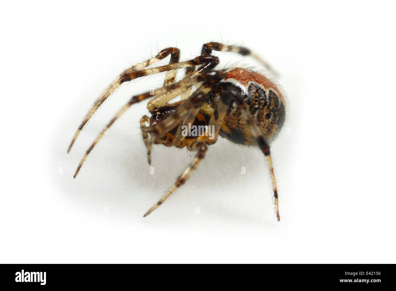 Female Theridion pictum spider, part of the family Theridiidae (Cobweb weavers). Isolated on white background. - Stock Image