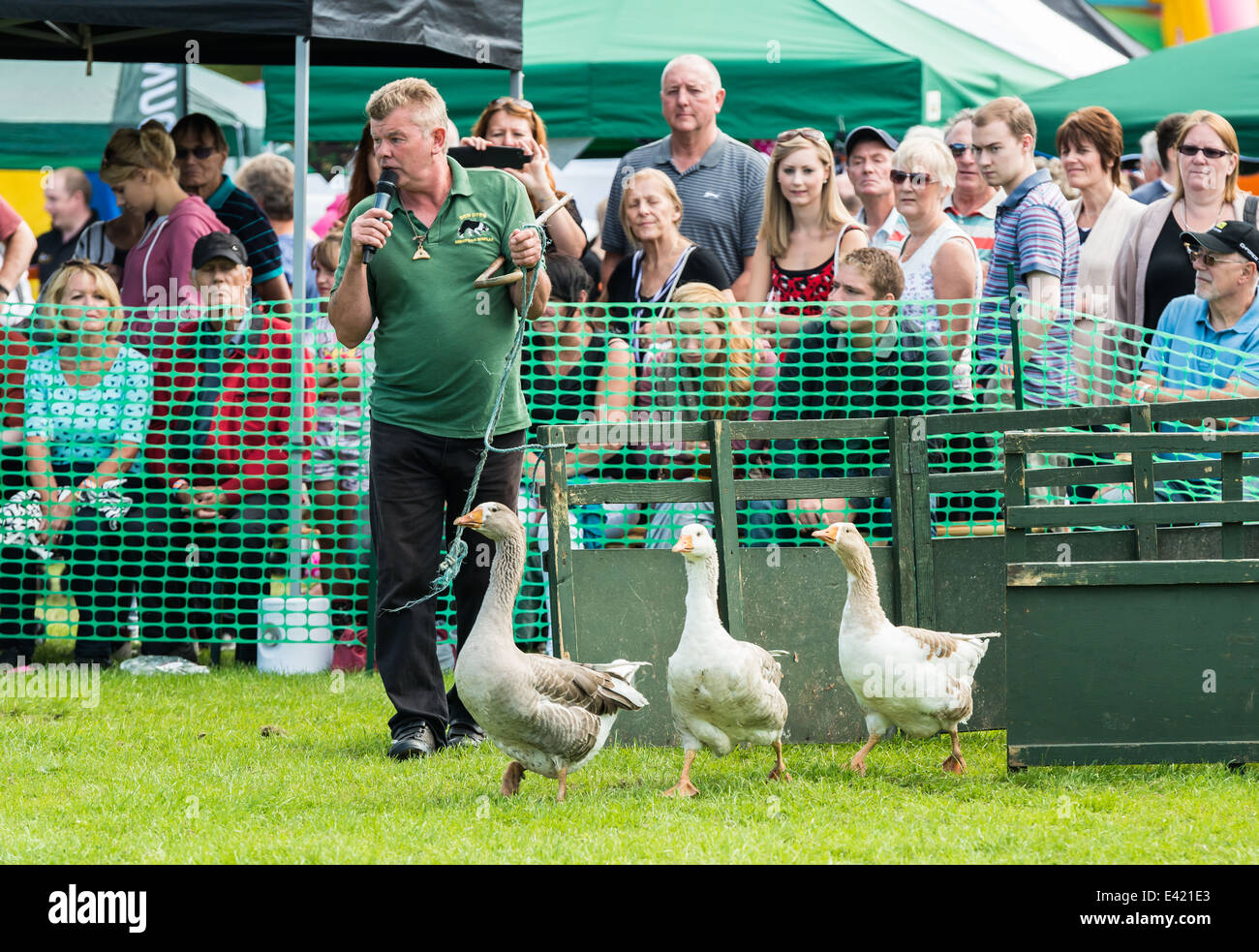 Sheep dog trainer performing in the ring at the Mirfield Show - Stock Image