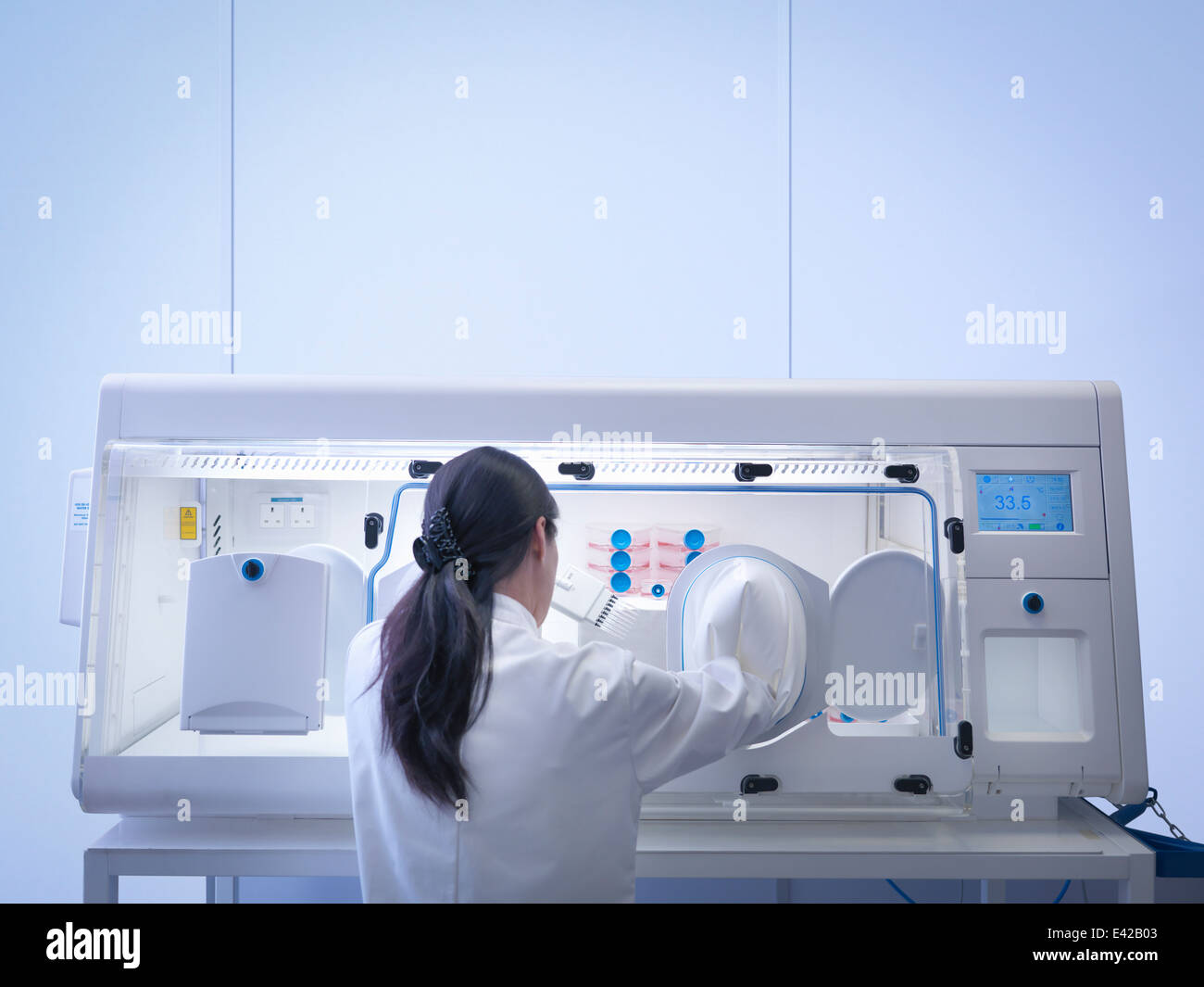 Rear view of scientist making cell culture using pipette inside laboratory workstation - Stock Image