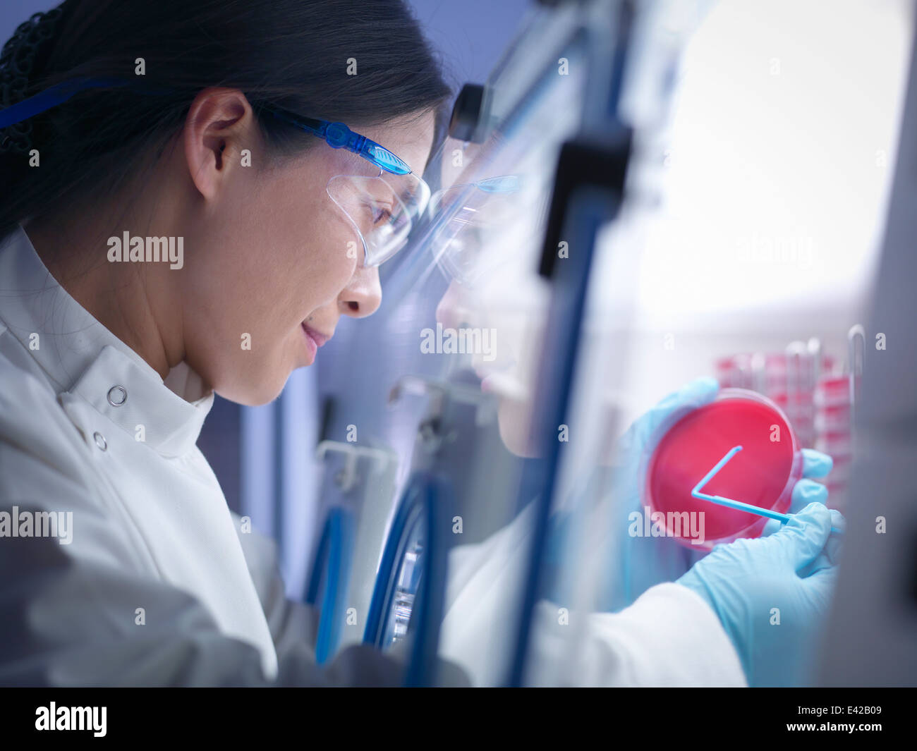 Close up of scientist making bacterial culture in agar inside laboratory workstation Stock Photo