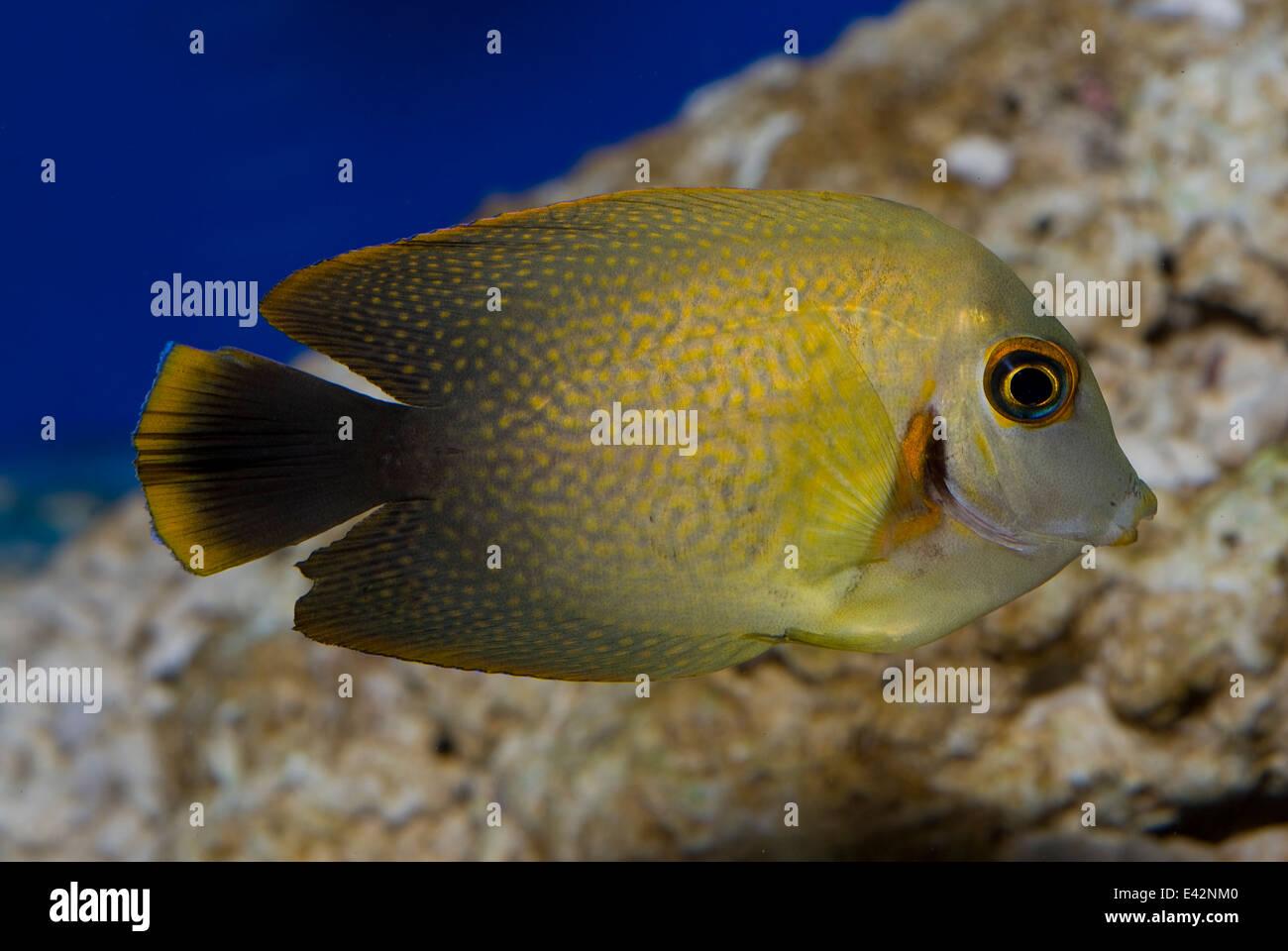 Mimic Lemon Peel Tang Acanthurus pyroferus Acanthuridae Indo-pacific Ocean - Stock Image