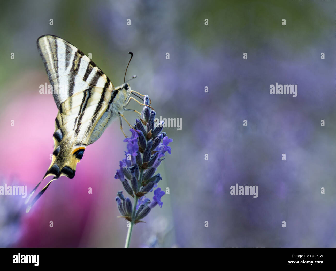 Close up of a Swallowtail butterfly feeding on flowers - Stock Image