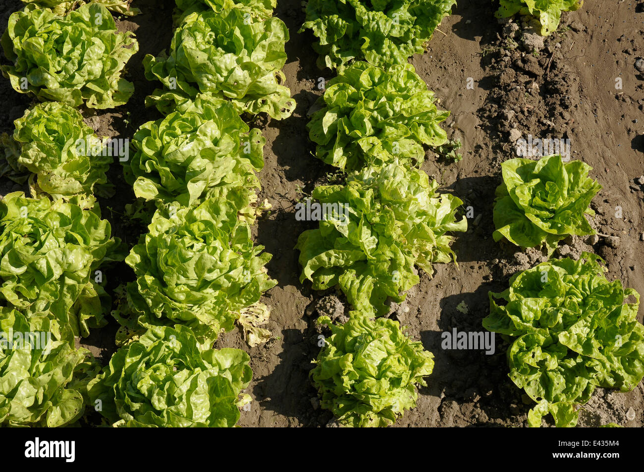 lettuces. Lettuce is rich in mineral salts, mainly potassium, calcium phosphorus and magnesium and vitamins especially - Stock Image