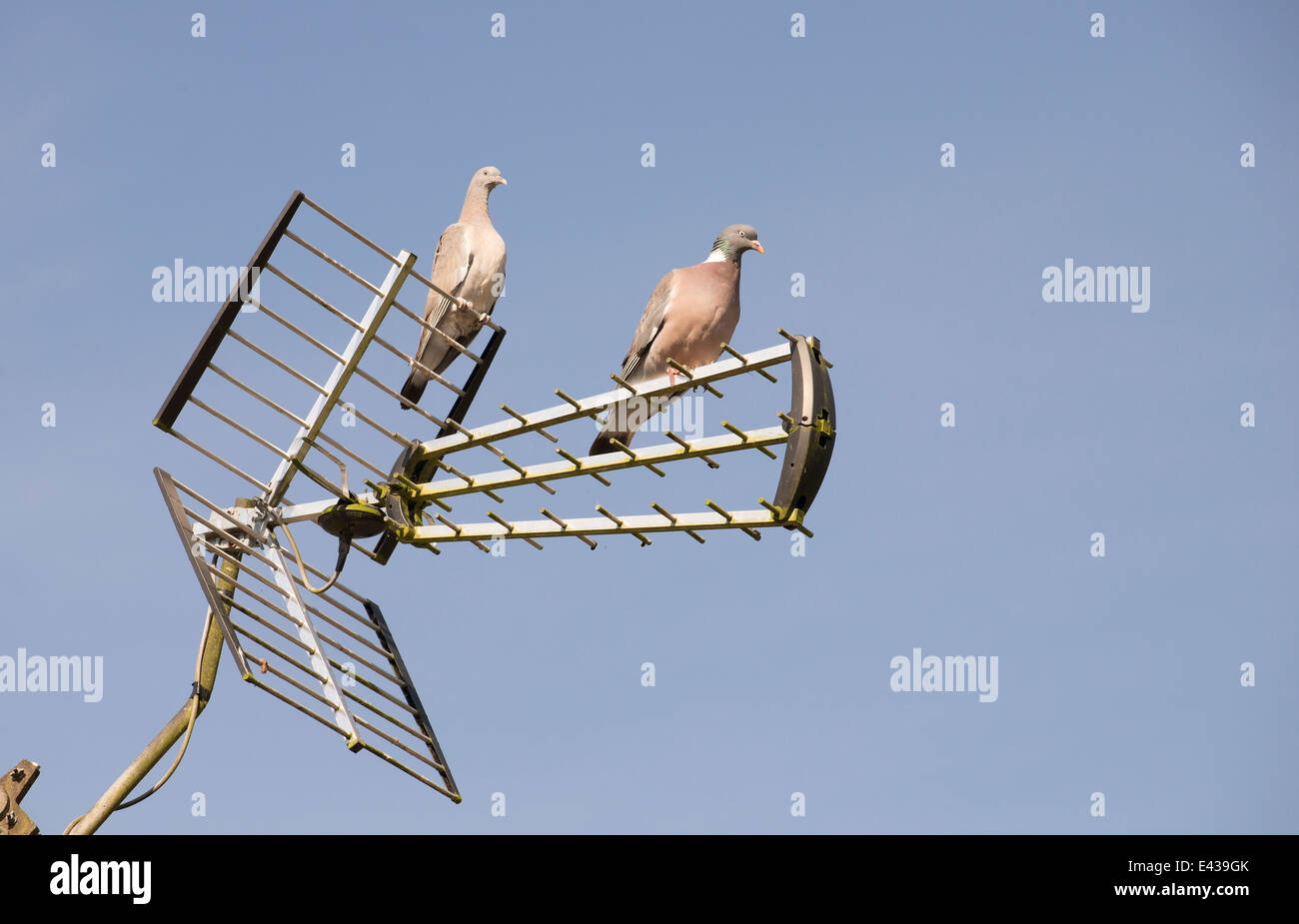 Pair of Woodpigeons resting on a tv aerial - Stock Image