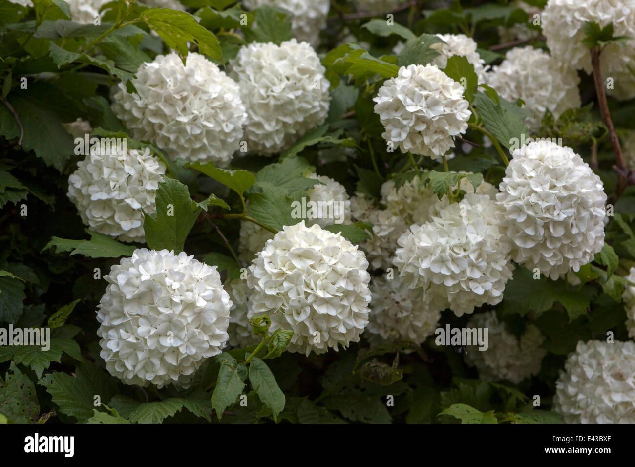 Viburnum opulus (common name guelder rose, water elder, cramp bark, snowball tree and European cranberry bush) - Stock Image