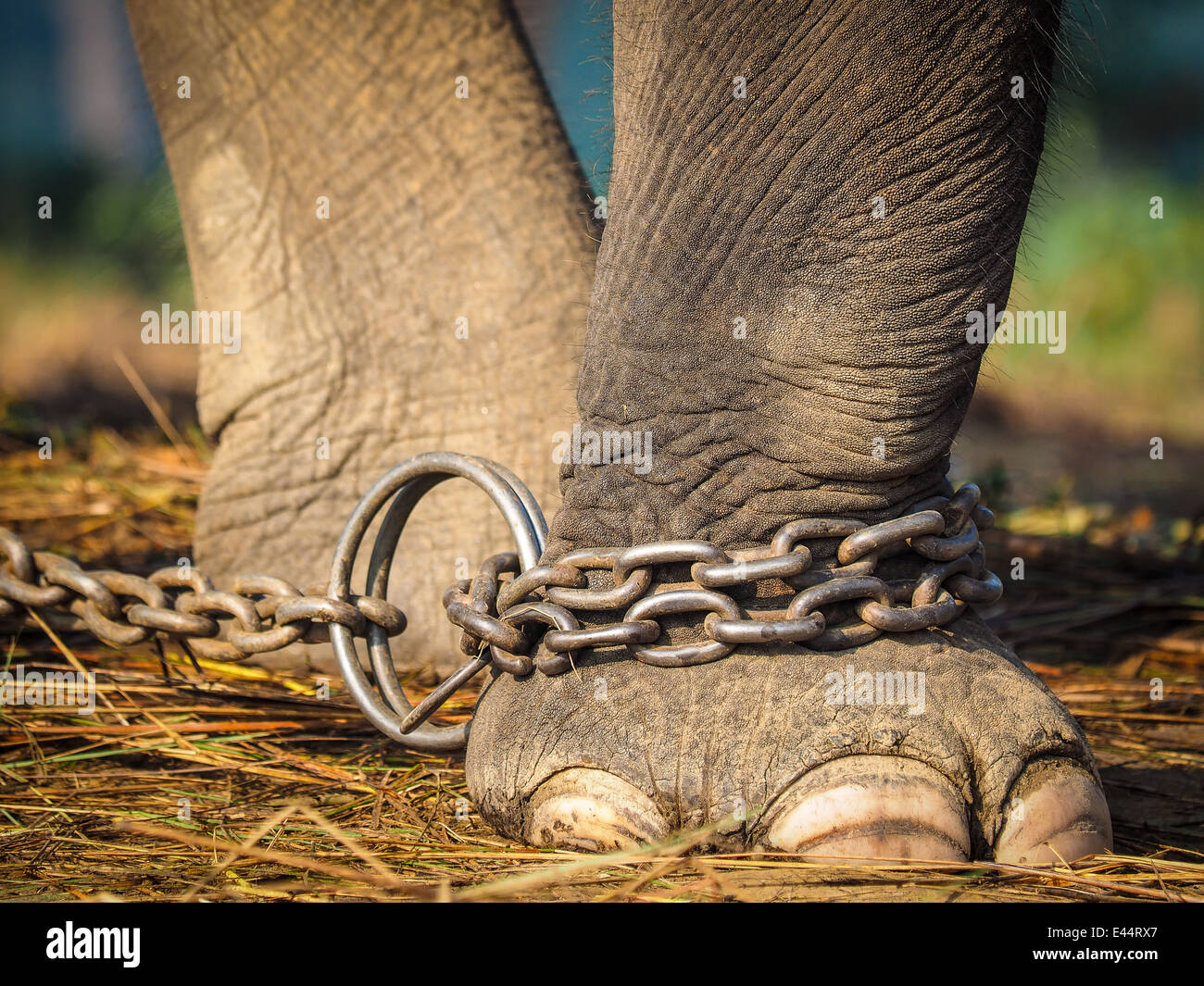Closeup of an elephant's foot tied to a metal chain Stock Photo
