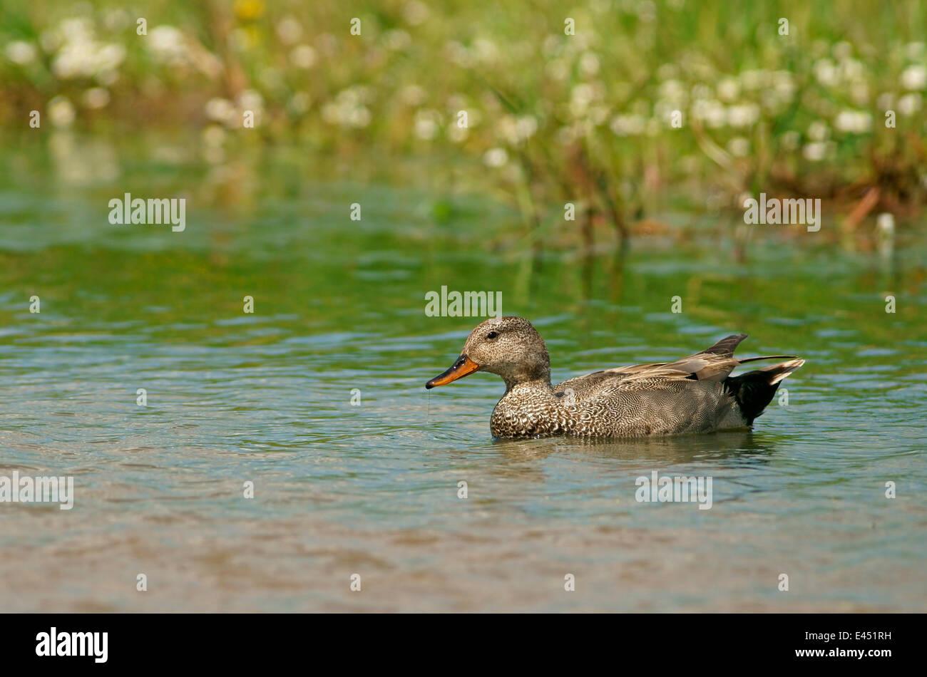 Gadwall (Anas strepera), drake, Mecklenburg-Western Pomerania, Germany - Stock Image