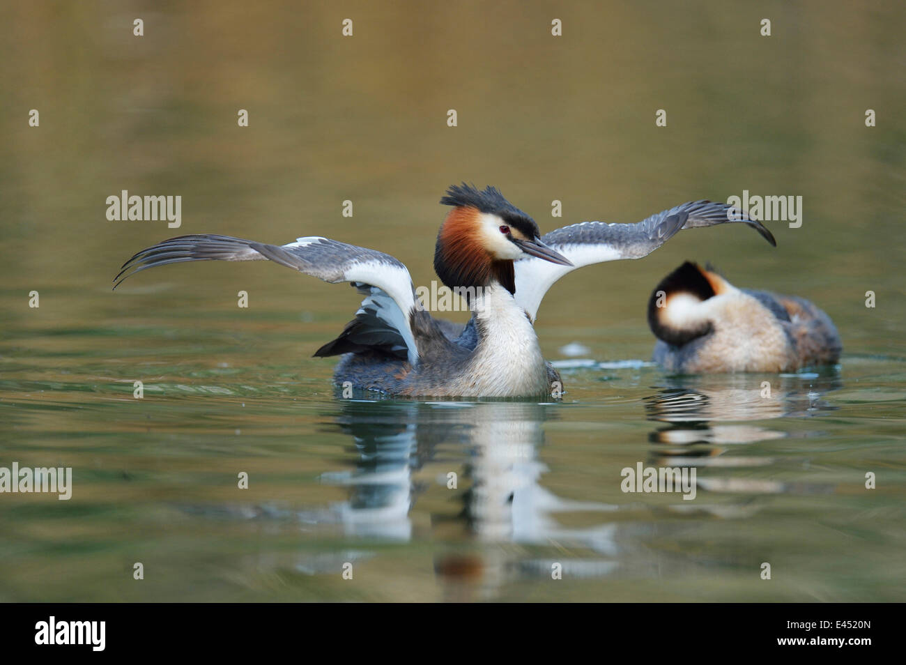 Great Crested Grebe (Podiceps cristatus), shaking its wings, Lake Lucerne, Canton of Lucerne, Switzerland - Stock Image
