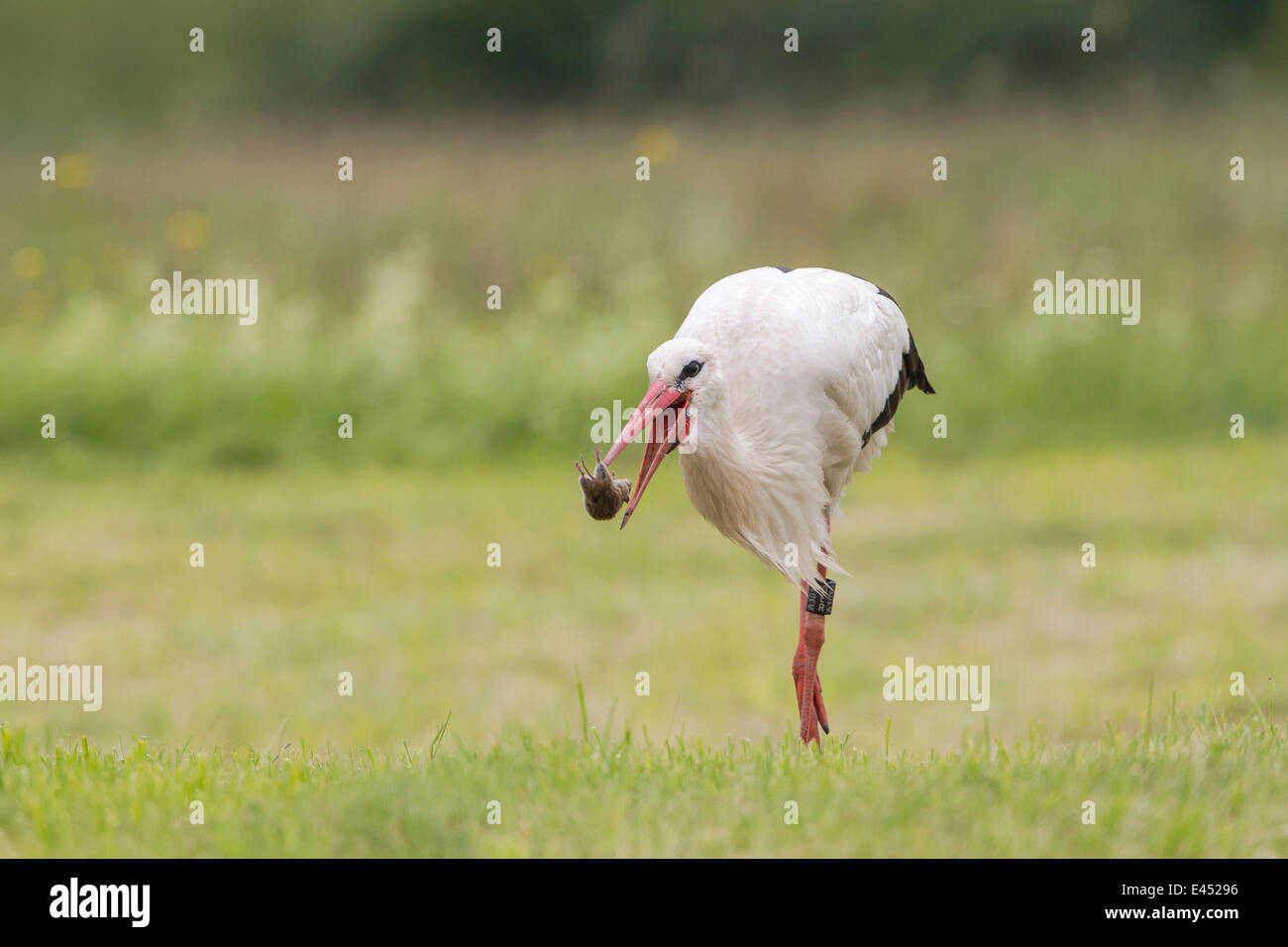 White Stork (Ciconia ciconia) capturing European Water Vole (Arvicola terrestris), North Hesse, Hesse, Germany - Stock Image