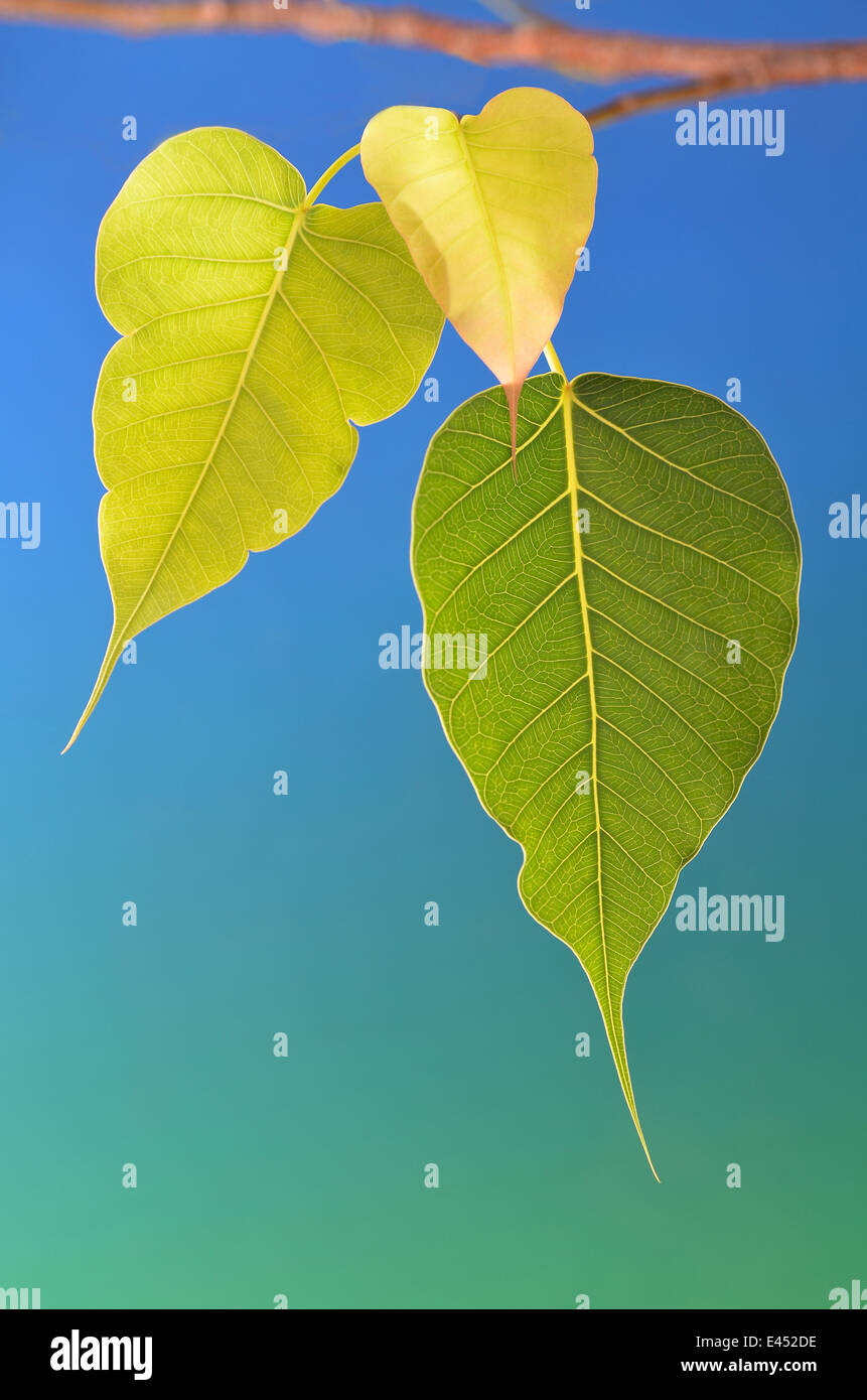 Three bodhi tree leaves on branch blue background Stock Photo