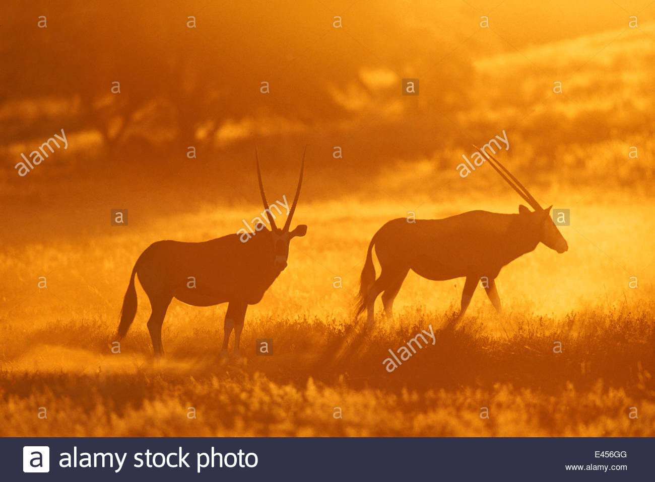 Gemsbok at dawn in Kruger NP. (Oryx gazella gazella) Africa. South Africa. - Stock Image