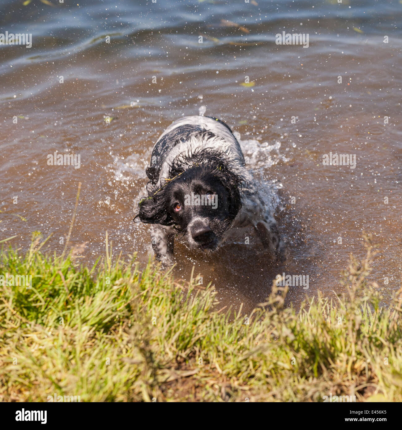 A wet 2 year old working English Springer Spaniel dog swimming in the river and shaking off water showing movement Stock Photo